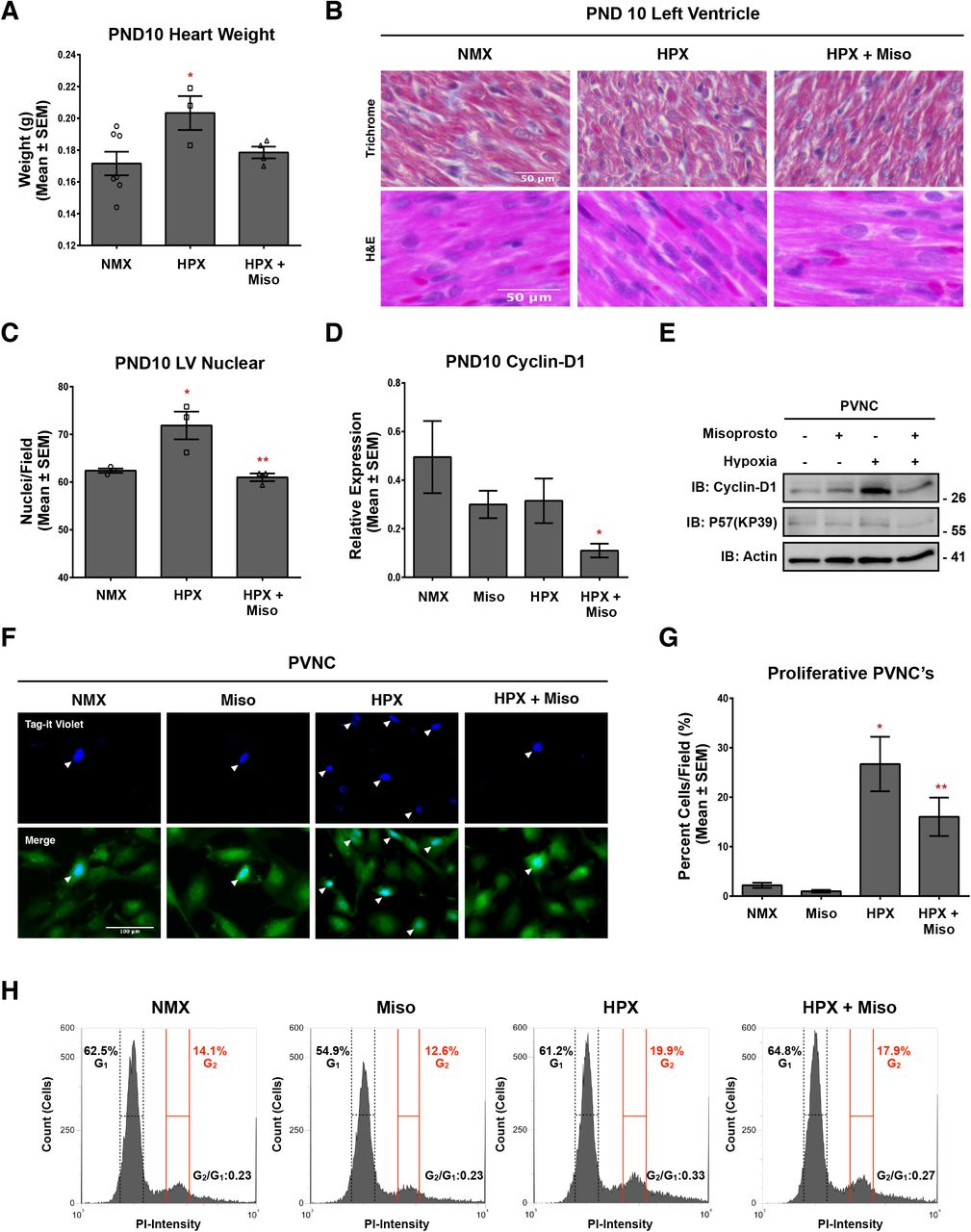Misoprostol opposes hypoxia-induced neonatal cardiomyocyte proliferation. (A) Immunoblot for Cyclin-D1 and p57(KP39) in protein extracts from primary ventricular neonatal cardiomyocytes (PVNCs) treated with 10 μM misoprostol (Miso) ± 10% O 2 (HPX) for 48 hours. (B) PVNCs treated as in (A) and stained with Tag-it Violet (blue) and calcein-AM (green) and imaged by standard fluorescence microscopy. (C) Quantification of Tag-it Violet positive cells in (B), where the number of blue cells is represented as a percentage (%) of the total number of (green) cells in 10 random fields. (D) Representative DNA Histograms of H9c2 cells treated as in (B), where G 1 indicates cells that are 2N and G 2 indicates cells that are 4N and G 2 /G 1 ratio indicates the proliferative index. (E) Quantification of cells as in (D), comparing the percentage of cells gated into G 2 vs. G 1 across 6 independent experiments. (F) PVNCs treated as in (B) and stained with calcein-AM (green) and imaged by standard fluorescence microscopy. (G) Quantification of cells in (F), where cell surface area was calculated for > 80 cells/condition in 10 random fields. (H) H9c2's treated as in (A). 2 mM 2-Deoxy-D-glucose (2DG) was added to half of the conditions for 48 hours in order to inhibit glycolysis. Cells were stained with Tag-it Violet (blue) and calcein-AM (green) and imaged by standard fluorescence microscopy. (I) Quantification as in (C) of Tag-it Violet positive cells in (H) for 10 random fields. (J) Quantification of Tag-it Violet positive H9c2 cells treated as in (A), where 100 μM Etomoxir (ETO) was added to half of the conditions for 48 hours in order to inhibit fatty acid oxidation. The number of blue cells is represented as a percentage (%) of the total number of (green) cells in 10 random fields. All data are represented as mean ± S.E.M. *P