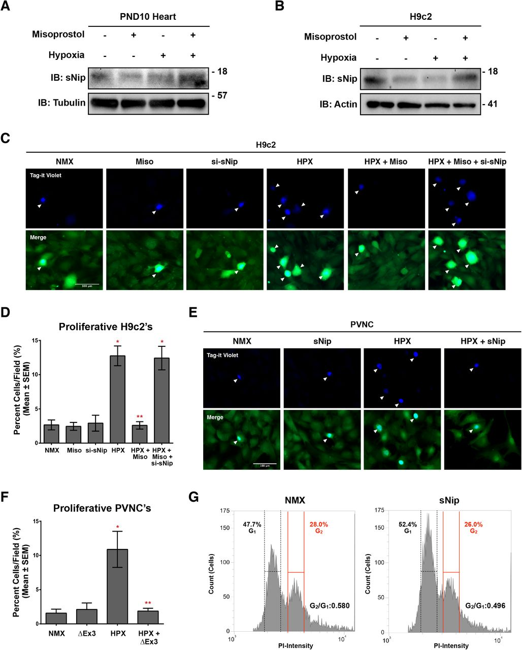 Misoprostol promotes nuclear calcium accumulation and regulates gene expression. (A) H9c2 cells treated with 10 μM misoprostol (Miso) ± 10% O 2 (HPX) for 48 hours. NLS-R-GECO (red) was used to indicate nuclear calcium content in all conditions. Cells were stained with hoechst (blue) and imaged by standard fluorescence microscopy. (B) Quantification of cells in (A), where red fluorescent signal was normalized to cell area and quantified in 10 random fields. (C) H9c2 cells treated as in (A) and Myc-NFATc3 was transfected into each condition. Cells were fixed, stained with hoechst (blue), and immunofluorescence was performed using a Myc primary antibody (green). Cells were then imaged by standard fluorescence microscopy. (D) Quantification of cells in (C), where the number of cells with nuclear Myc-NFATc3, is presented as a percentage of the number of cells/field in 5 random fields. (E) H9c2 cells treated as in (A), Protein extracts were subjected to nuclear/cytosolic fractionation and were immunoblotted, as indicated. (F) H9c2's treated as in (A). 2 μM CsA was added to half of the conditions for 48 hours in order to inhibit calcineurin-NFAT signalling. Peredox-mCherry (where Red=NAD + , Green=NADH) was used to indicate cytosolic reduced or oxidized NAD content in all conditions. Cells were imaged by standard fluorescence microscopy. (G) Quantification of cells in (F), where the ratio of green fluorescence (NADH) to red fluorescent signal (NAD + ) in 15 random fields across 3 independent experiments. (H) Quantification of H9c2 cells treated with 10% O 2 (HPX) for 48 hours and transfected pcDNA3 (control) or myc-NFATc3. Peredox-mCherry was used to indicate cytosolic NAD content. The ratio of green fluorescence (NADH) to red fluorescent signal (NAD + ) was measured in > 15 random fields across 6 independent experiments. (I) H9c2's treated as in (H), cells were stained with Tag-it Violet (blue) and <t>calcein-AM</t> (green) and imaged by standard fluorescence microscopy. 