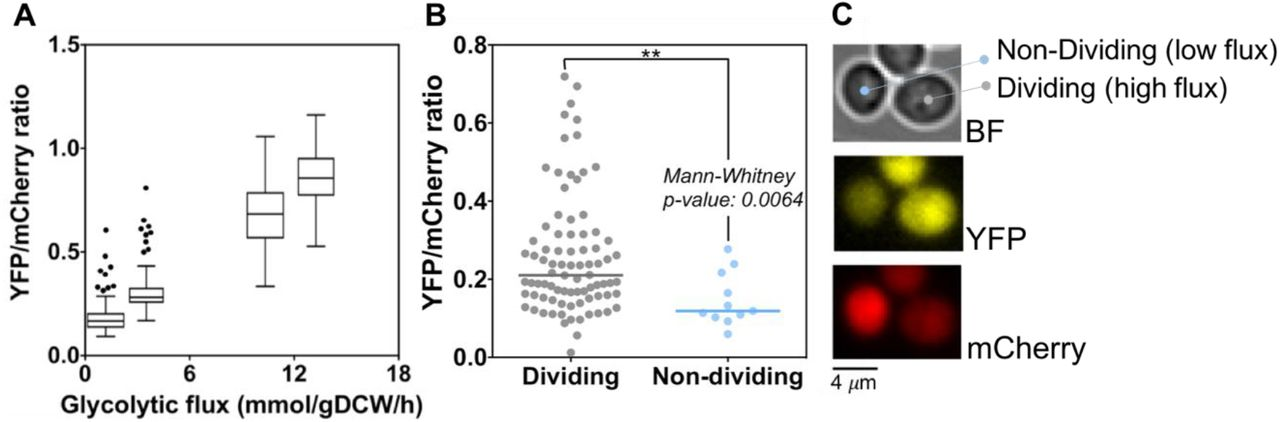 Measuring glycolytic flux in single yeast cells with an orthogonal