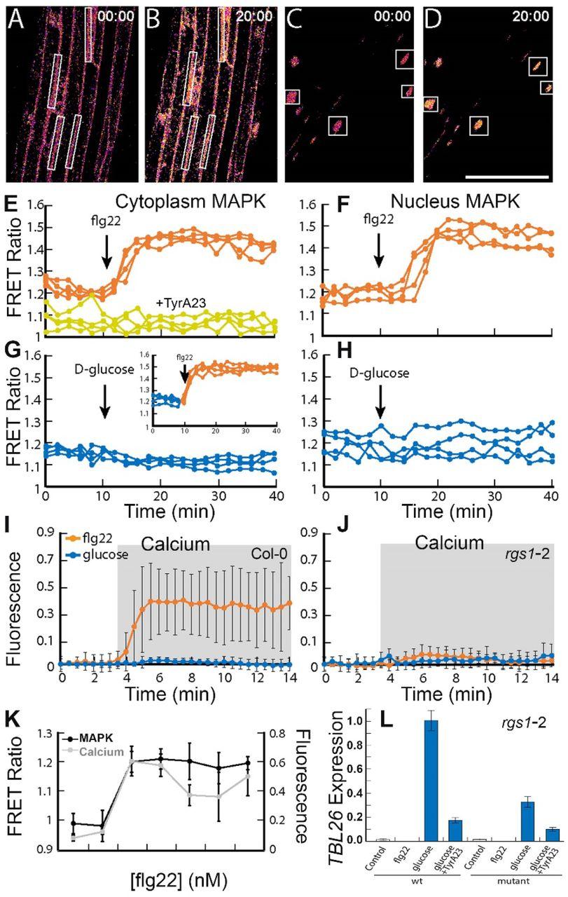 Biased Signaling: Distinct Ligand-directed Plasma Membrane