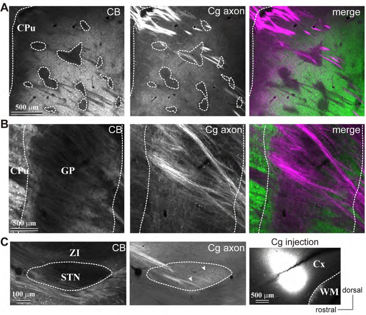 Motor cortex can directly drive the globus pallidal neurons