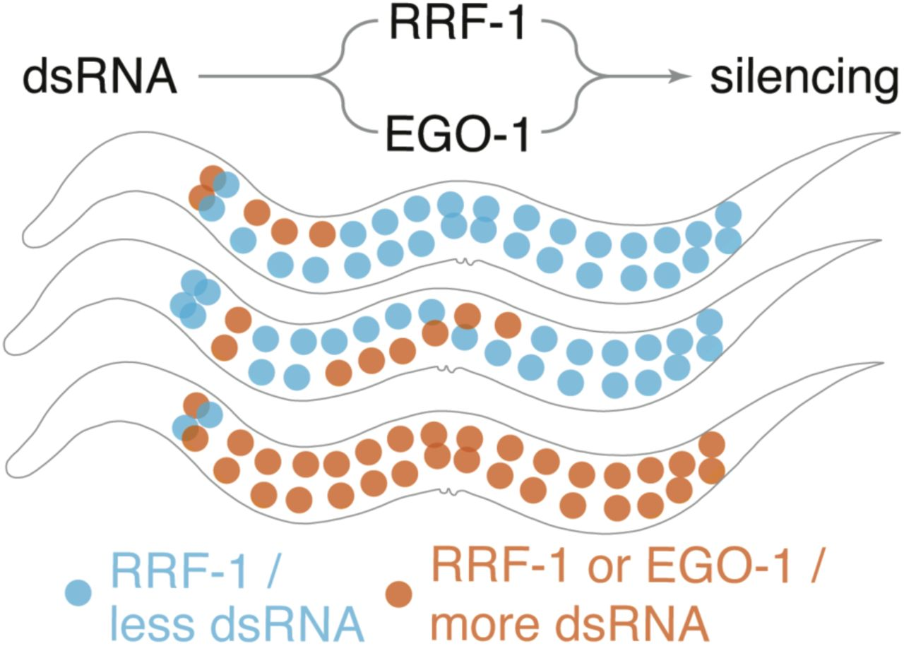 Gene silencing by double-stranded RNA from C  elegans