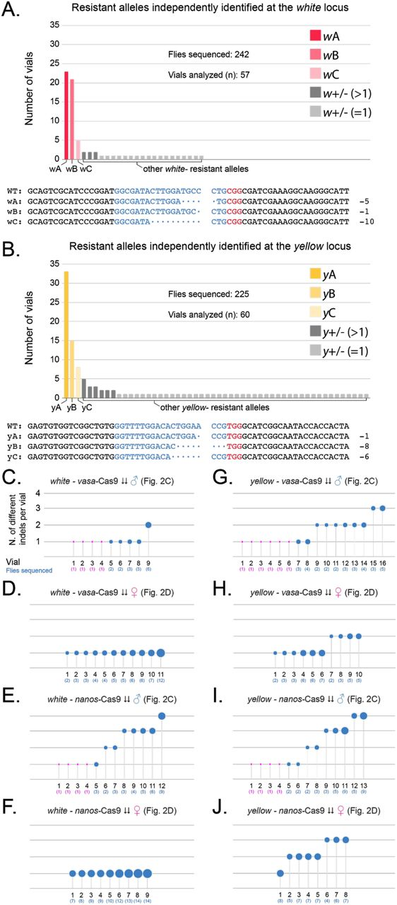 Analysis of the resistant alleles from the tGD( y,w ) arrangement. ( A, B ) Graphs represent the independent generation of specific indel mutations generated in the experiments carried out in Fig. 2 and Fig. S3 when allelic conversion failed at the ( A ) white and ( B ) yellow loci. At both loci, we observe three repeatedly isolated indels that are colored with different shades of red for the white locus (wA, wB, wC) and yellow for the yellow locus (yA, yB, yC), the sequence of which is reported under each graph indicating with dots the missing bases compared to the wild-type sequence, split at the expected cut site. Additional indels recovered more than once are colored in dark grey, and those recovered only once are colored in light gray. ( C-J ) Each panel depicts the number of different indels recovered (y-axis) in ascending order for each F1 female (numbered on x-axis) for which the F2 male progeny was sampled. Bubble size is indicative of the number of flies analyzed for each specific F1 female, reported under the vial number in parenthesis. For F1 females producing only one F2 male with an indel, and therefore only one male was sampled, the dot is represented in magenta.