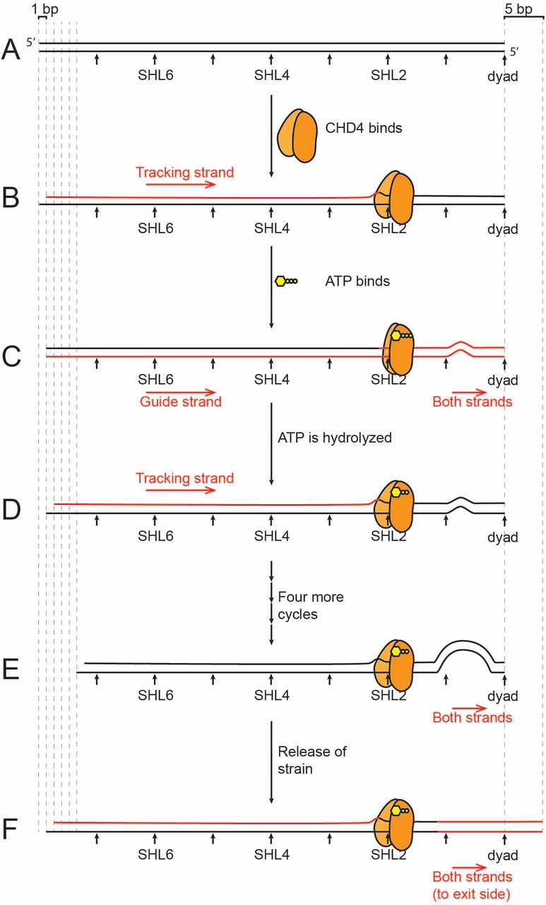 CHD4 slides nucleosomes by decoupling entry- and exit-side
