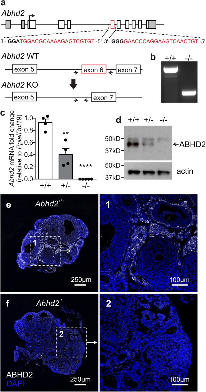 Alpha/Beta Hydrolase Domain-Containing Protein 2 regulates the