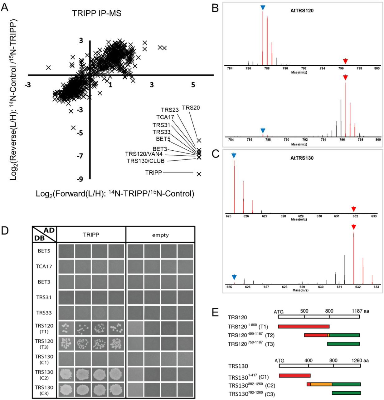 TRIPP interacts with TRAPPII subunits. A. Metabolic stable isotope labeling immunoprecipitation mass spectrometry (SILIP-MS) analysis of TRIPP identifies only TRAPPII subunits. SILIP-MS was performed using 35S:TRIPP-YFP / tripp-1 complemented plants. Plot shows log 2 ratio of signal intensities between samples labelled with light (L, 14 N) and heavy (H, 15 N) isotopes (L/H ratio) for two biological replicates, in which either the Col-0 control (Forward) or the TRIPP-YFP sample (Reciprocal) was labelled with 15 N. Note that TRAPP-III subunits are not identified in the data set. B. Representative spectra of an AtTRS120 peptide quantified in the SILIP-MS experiments of 14 N-TRIPP-YFP vs 15 N-Col-0 (upper panel) and 14 N-Col-0 vs 15 N-TRIP-YFP (lower panel). Blue and red arrow points to mono-isotopic peak of the 14 N and 15 N labeled peptide respectively. C. Representative spectra of an AtTRS130 peptide quantified in the TRIPP-YFP SILIP-MS experiments as descried for panel B. D. Yeast two-hybrid assays of interactions between TRIPP and TRAPP subunits. The panels are from different plates. Four independent replicate experiments were performed. The results show interactions of TRIPP with both T1 and T3 regions of AtTRS120 and with the plant specific C2/C3_DB AtTRS130 regions. T2_DB is not included as it is an auto activator, as evidenced by colony growth with the empt AD vector, and this precludes our ability to determine whether AtTRS120_T2 interacts with TRIPP. E. TRAPPII coding regions used for yeast two-hybrid interaction assays. Segments colored in red are conserved across kingdoms, while those in green are plant-specific. The orange moiety of the C2 segment is poorly conserved across kingdoms. The T2 middle segment corresponds to sequences found to interact with the exocyst in a yeast two-hybrid screen ( Rybak et al., 2014 ).