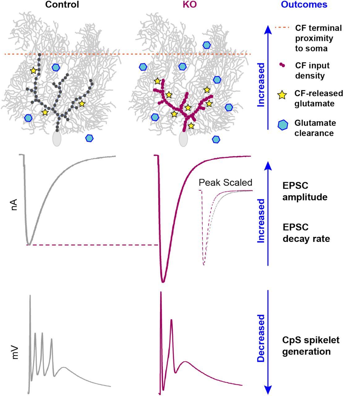 α2δ-2 protein controls structure and function at the