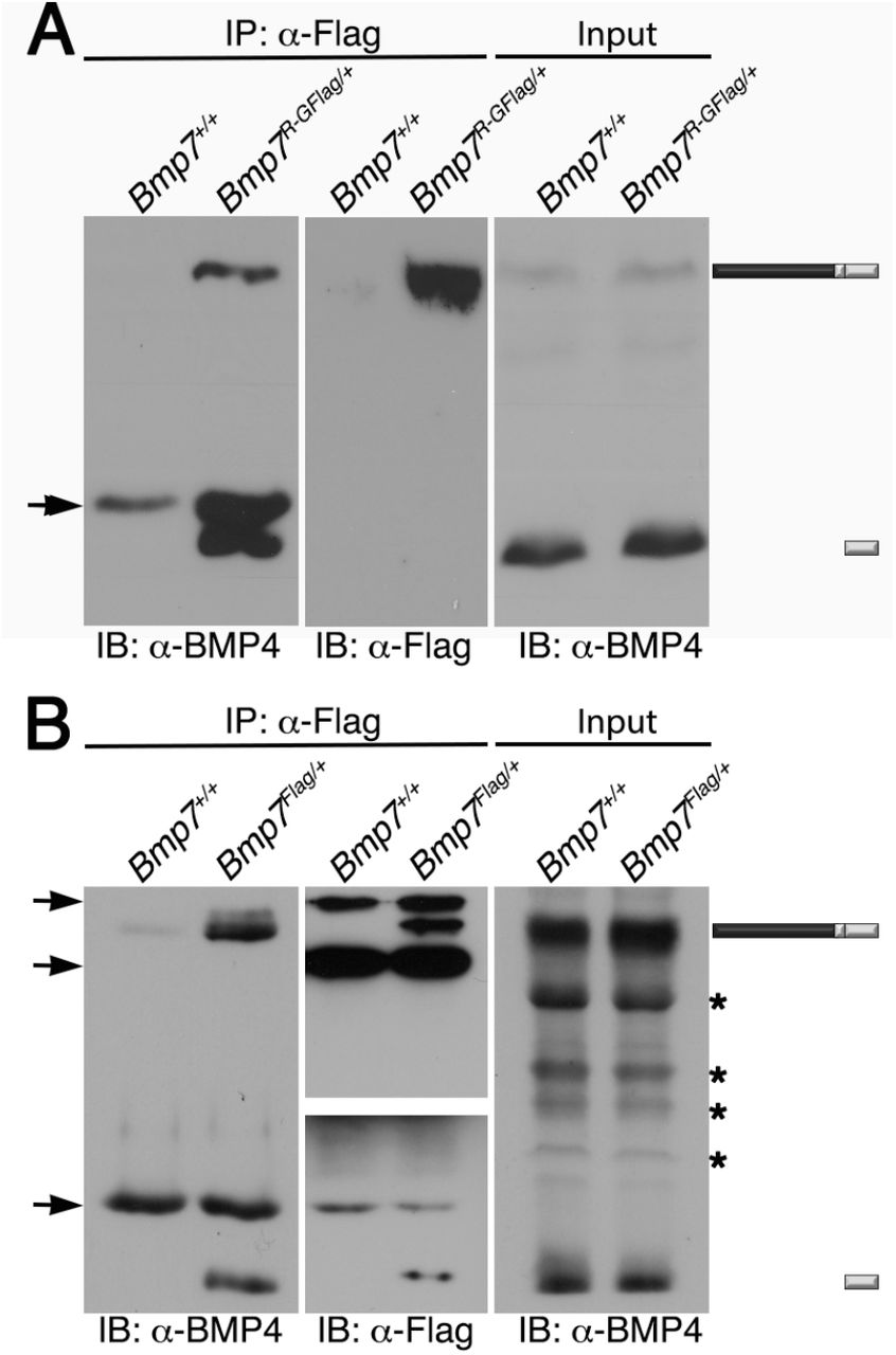Endogenous BMP4 co-immunoprecipitates with BMP7. Antibodies specific for Flag-epitope tag were used to immunoprecipitate (IP) proteins from E11.5 Bmp7 +/+ , Bmp7 R-GFlag/+ or Bmp7 Flag/+ lysates. Immunoblots of IPs or total protein (input) were probed with antibodies specific for BMP4 or Flag as indicated below each panel. The position of precursor proteins and cleaved mature ligand is indicated on the right. Arrows indicates band corresponding to IgG heavy or light chains, asterisks mark non-specific bands. Results were reproduced in two independent experiments.