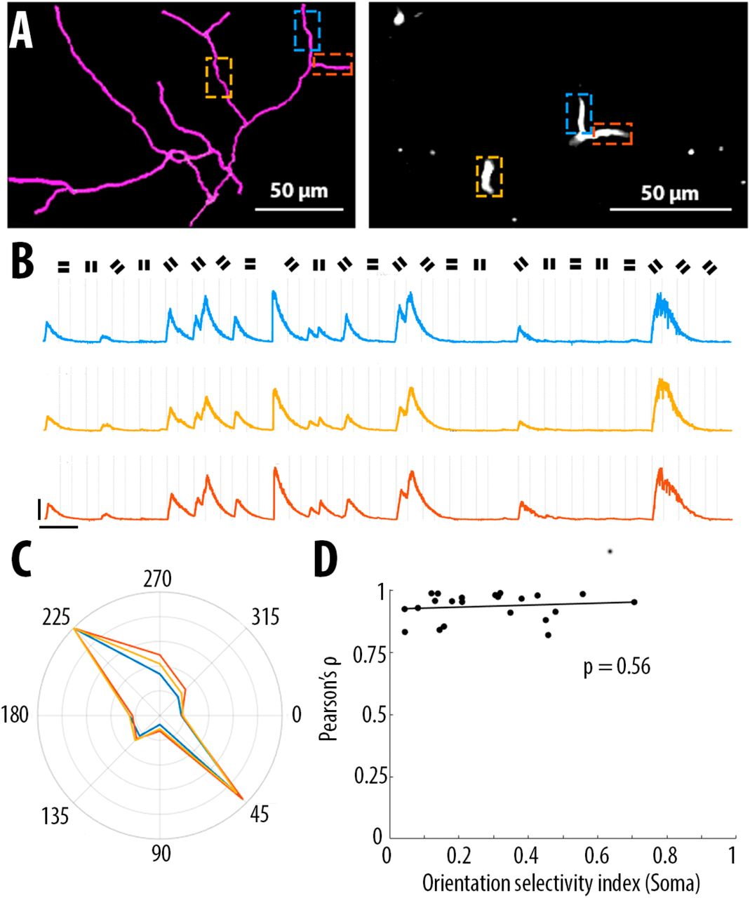High and asymmetric somato-dendritic coupling of V1 layer 5 neurons