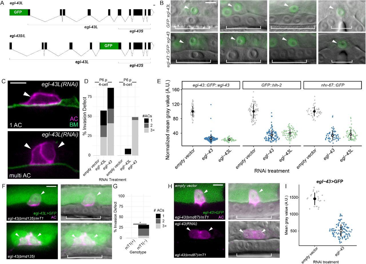 A developmental gene regulatory network for invasive differentiation