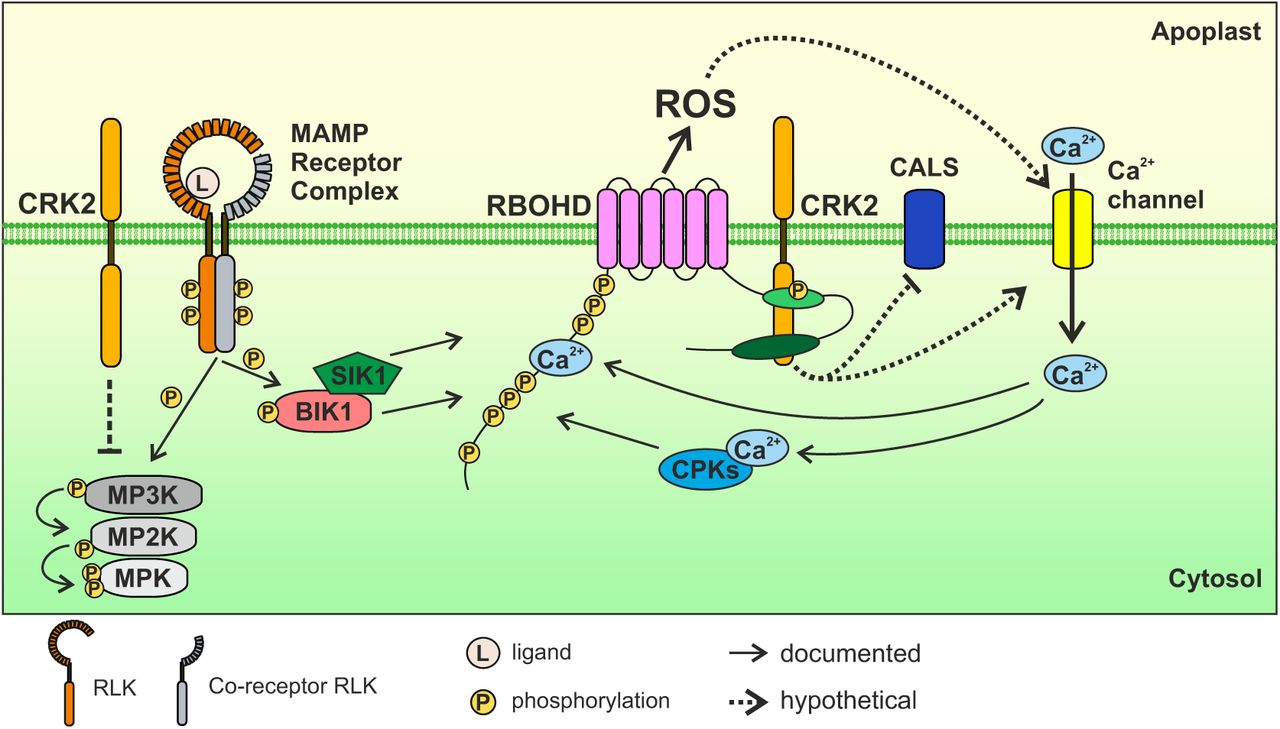 CRK2 and C-terminal phosphorylation of NADPH oxidase RBOHD regulate