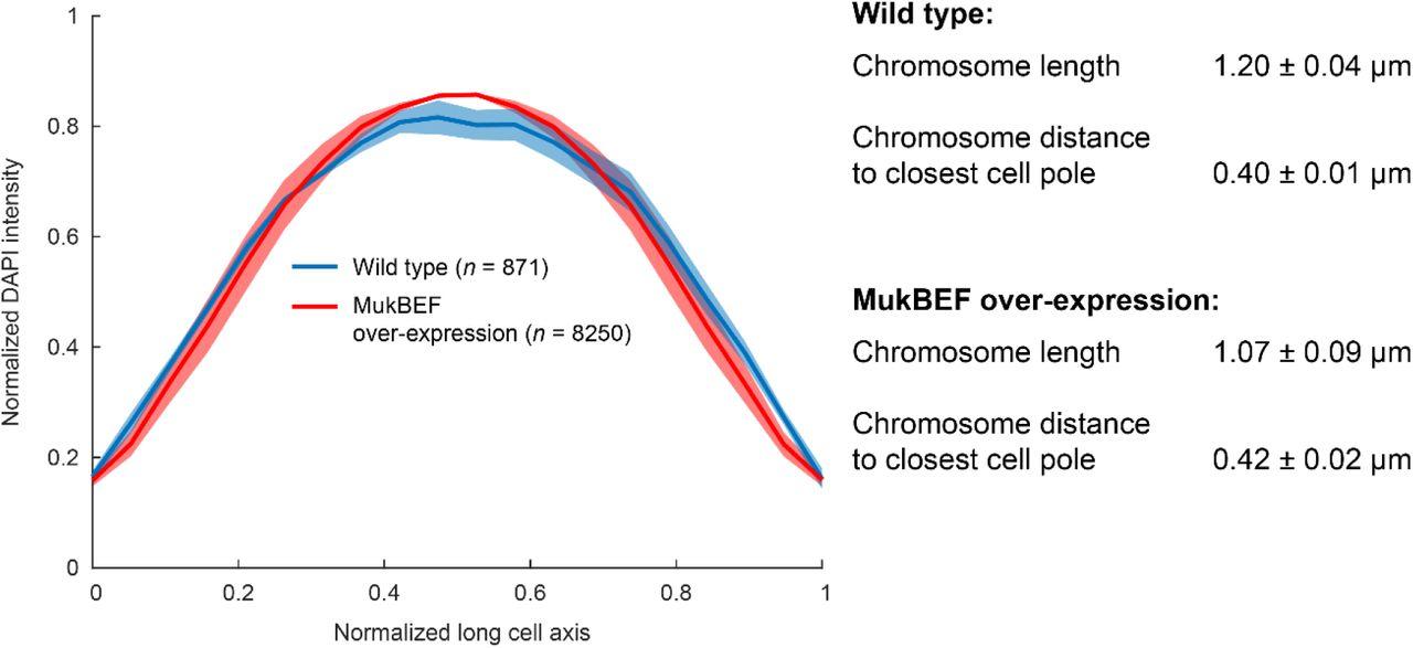 The SMC complex, MukBEF, organizes the Escherichia coli chromosome