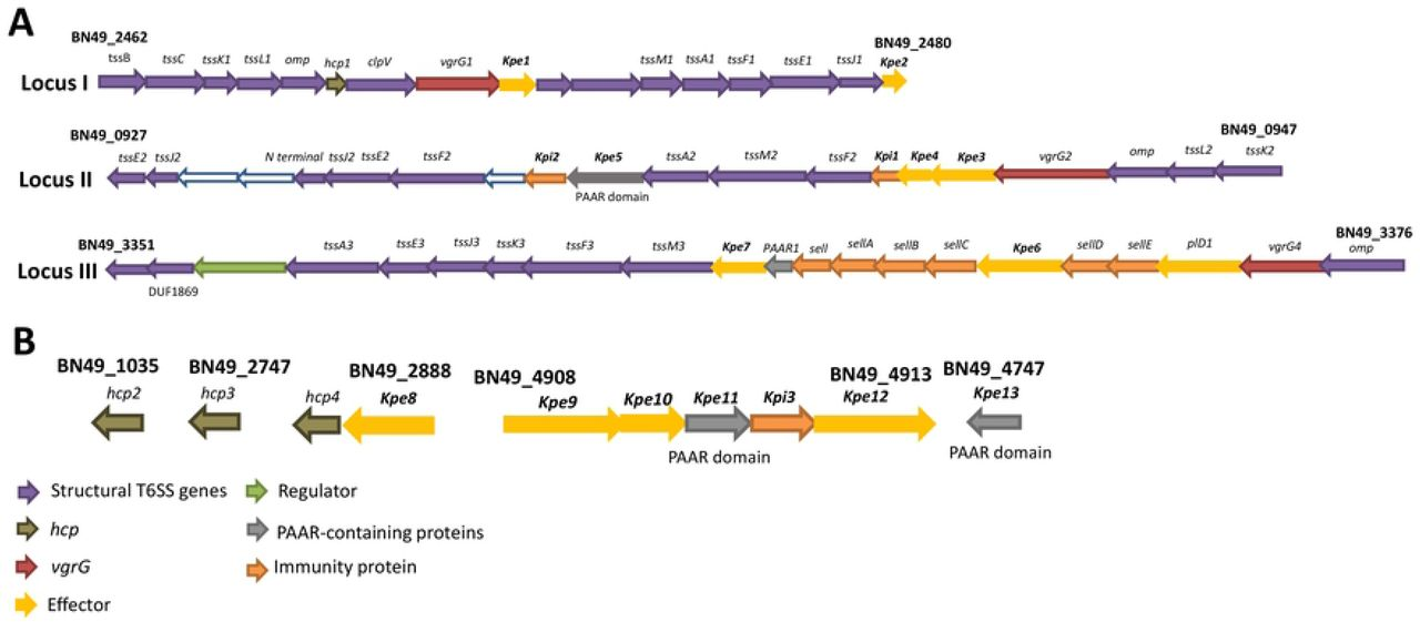 Klebsiella pneumoniae type VI secretion system-mediated