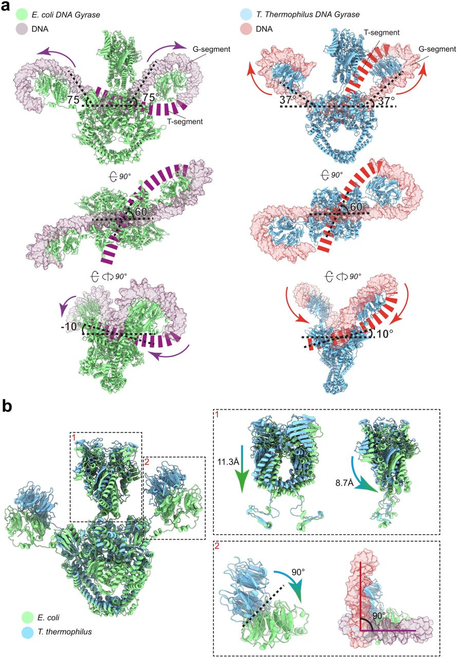 Cryo Em Structure Of The Complete E Coli Dna Gyrase