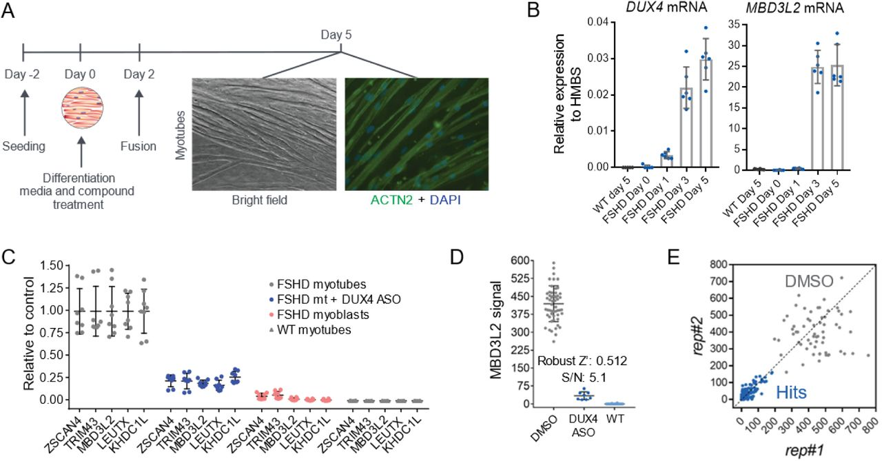 Small molecule inhibitors of p38 alpha reduced expression of DUX4 in FSHD myotubes. ( A ) Diverse inhibitors of p38α/β reduce the expression of MBD3L2 in differentiating FSHD myotubes. Concentration-dependent responses were observed with all tested inhibitors. Four replicates per concentration were tested to measure reduction of MBD3L2 in immortalized C6 FSHD myotubes and bars indicate mean±SD. ( B ) P38α/β pathway inhibition in C6 FSHD myotubes. The ratio between phosphorylated HSP27 to total HSP27 was measured by an immunoassay (MSD) after 12h of treatment of C6 FSHD myotubes with the indicated inhibitors. Half maximal inhibitory concentrations (IC 50 ) observed for p-HSP27 were comparable to those obtained for reduction of MBD3L2 expression. Bars indicate mean±SD for four replicate wells. ( C ) Knockdown of p38α ( MAPK14 ) results in reduction of MBD3L2 expression. Immortalized C6 myoblasts were electroporated with siRNAs specific for MAPK14 (p38α) and MAPK12 (p38γ) plated and differentiated for 3 days. Expression of the indicated transcripts was measured using RT-qPCR and normalized against POLR2A . Reduction of MBD3L2 expression was observed when > 50% knockdown of MAPK14 was achieved. Bars indicate mean±SD. ( D ) P38α/β inhibition results in the reduction of DUX4 expression. After inhibition, correlated reduction of DUX4 mRNA, protein and downstream gene MBD3L2 was observed. To measure DUX4 protein a novel immunoassay was developed using previously described antibodies (see methods and Figure S4 ). Bars indicate mean±SD, t-test p value *
