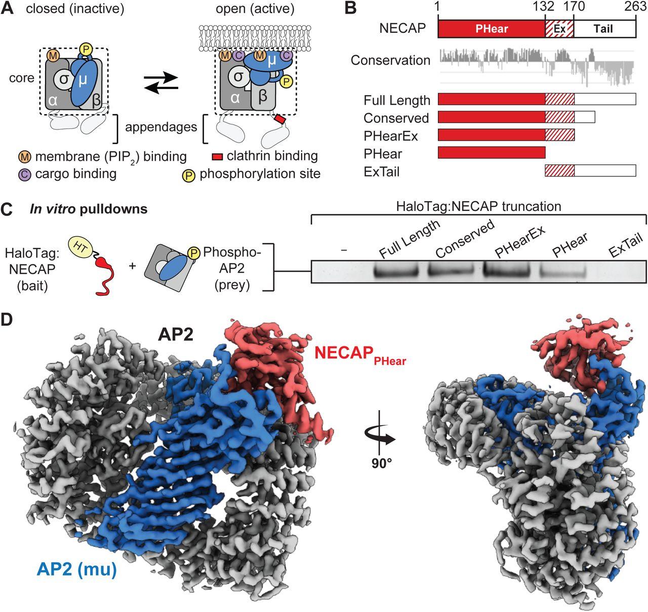 A structural mechanism for phosphorylation-dependent