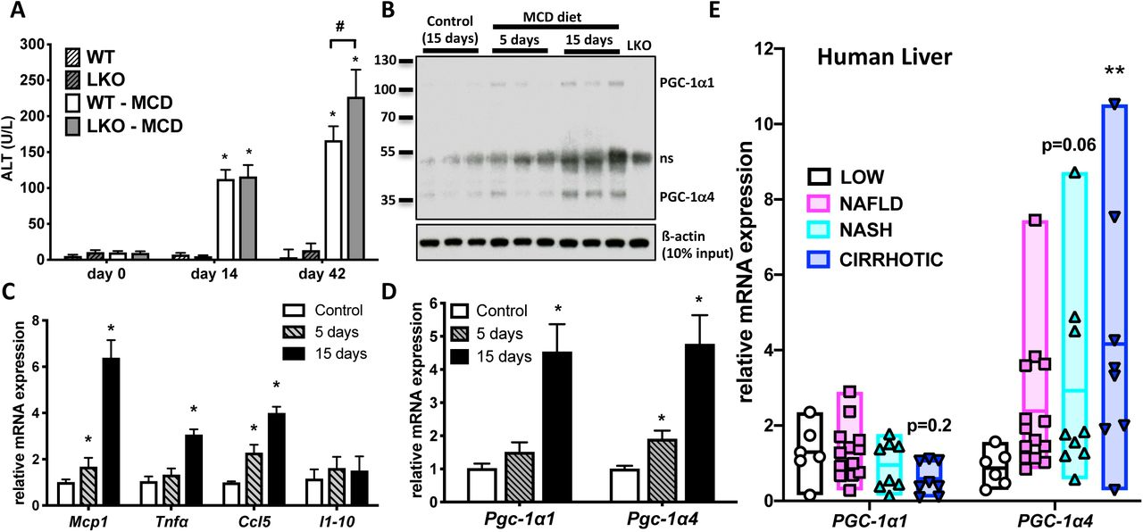 <t>PGC-1α</t> isoforms differentially regulate inflammatory and metabolic signaling pathways downstream of TNFα. Gene expression microarrays of mRNA isolated from primary mouse hepatocytes over-expressing either PGC-1α1, PGC-1α4, or vector control by adenoviral infection. A) Number of genes changed greater than 2-fold 48 hr following transduction in the absence or presence of 2 ng/mL TNFα (2 hr) (n = 3 biological replicates, adj. p-value