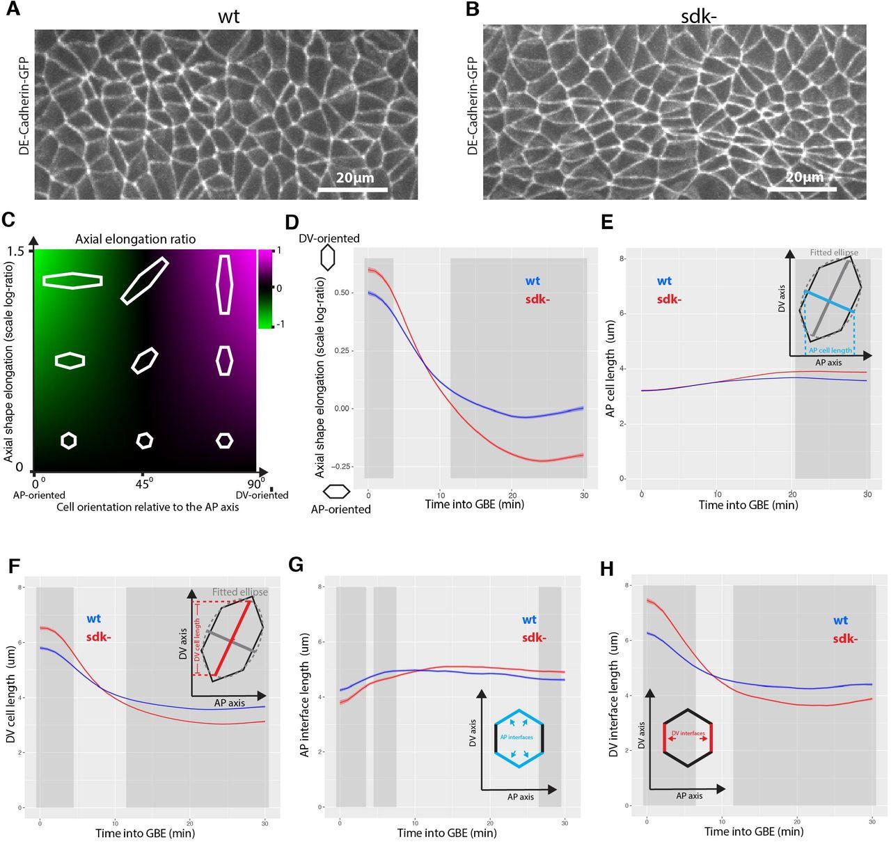 The tricellular vertex-specific adhesion molecule Sidekick