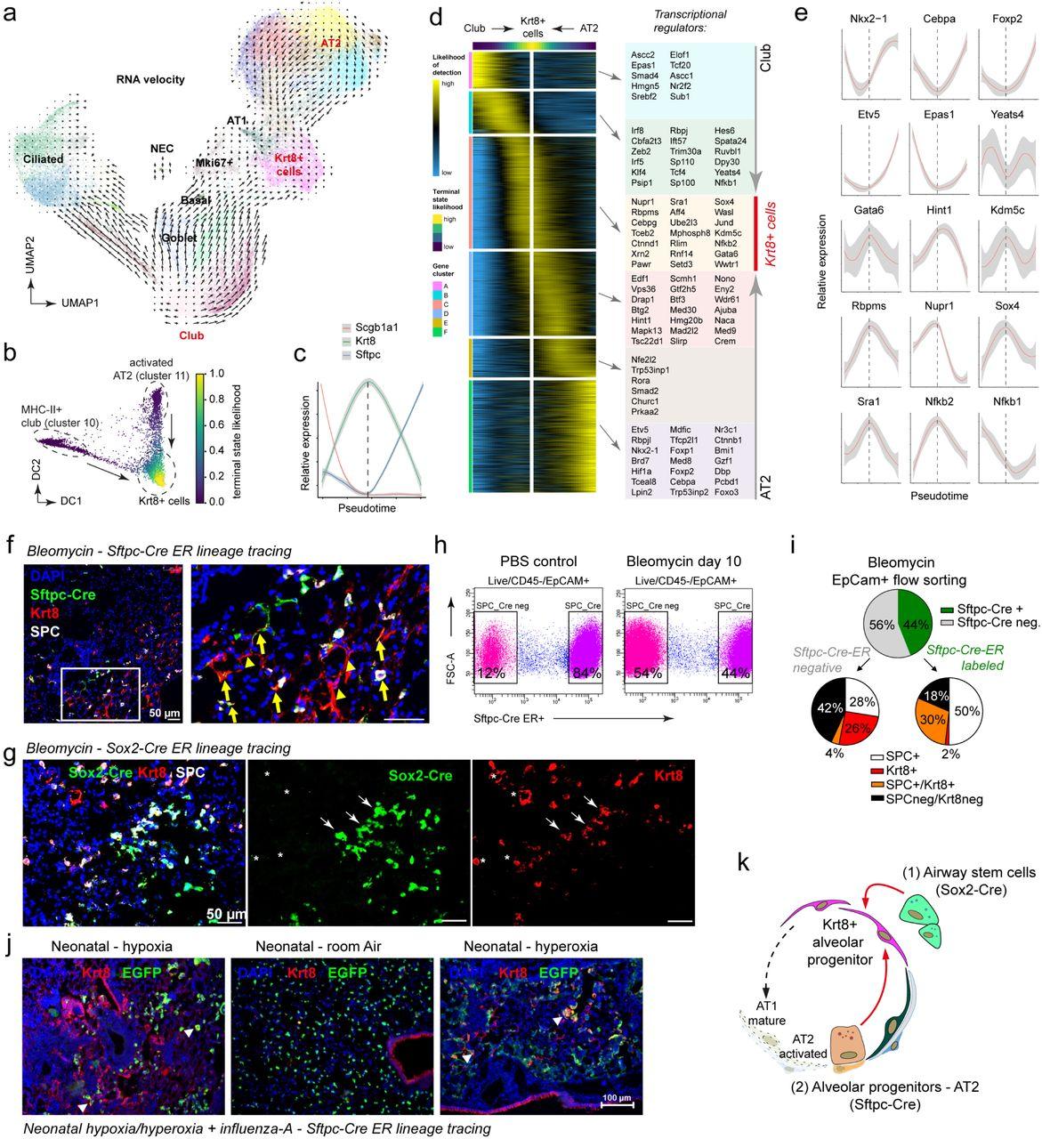 Longitudinal single cell transcriptomics reveals Krt8+