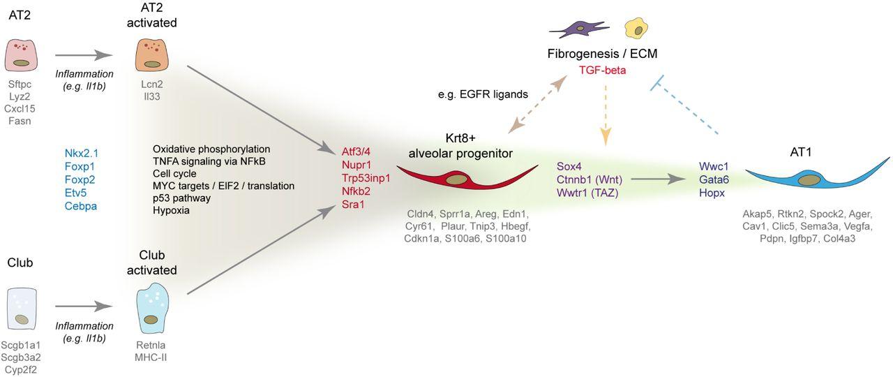 Longitudinal single cell transcriptomics reveals Krt8+ alveolar