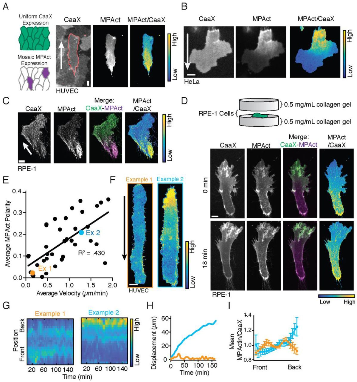 Membrane Proximal F Actin Restricts Local Membrane Protrusions And