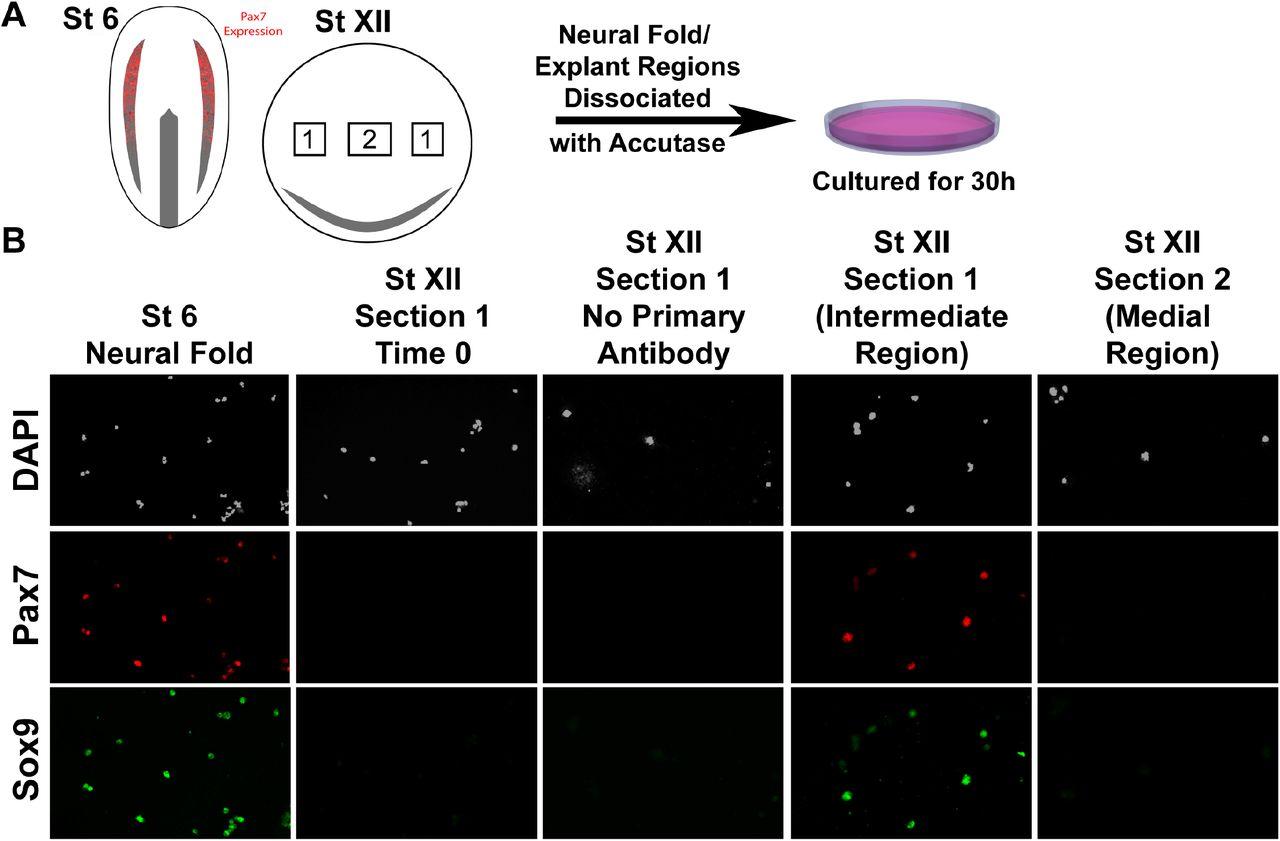 Blastula stage specification of avian neural crest | bioRxiv