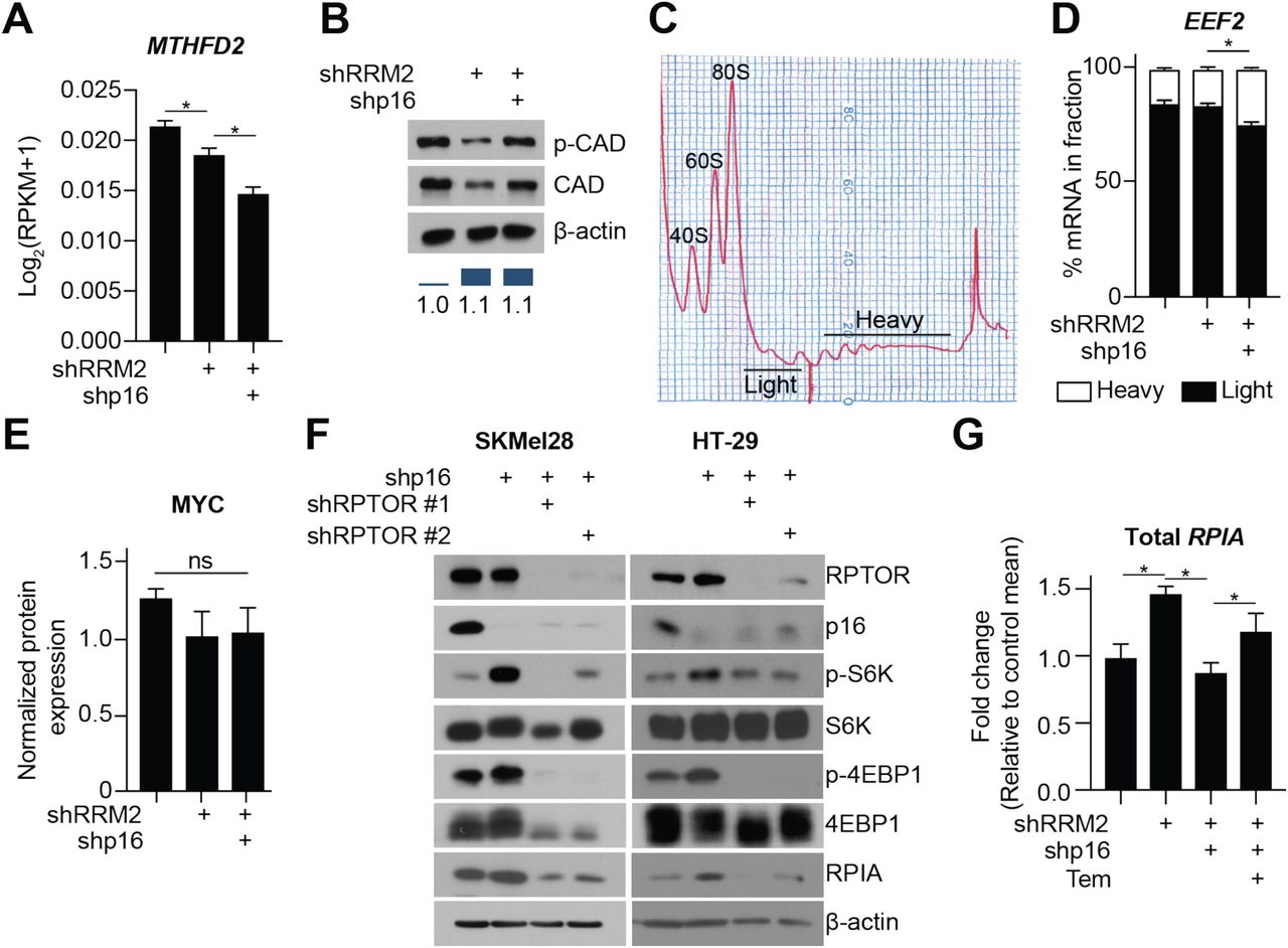 Suppression of p16 induces mTORC1-mediated nucleotide