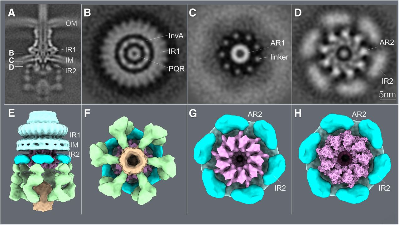 Comparison of the cryo-EM structure of the isolated needle complex IR1 and IR2 containing the core components of the export apparatus (A) with the cryo ET structures of the type III secretion needle complex from a S . Typhimurium ΔinvA mutant strain (B). The overlaid structures are shown in (C).