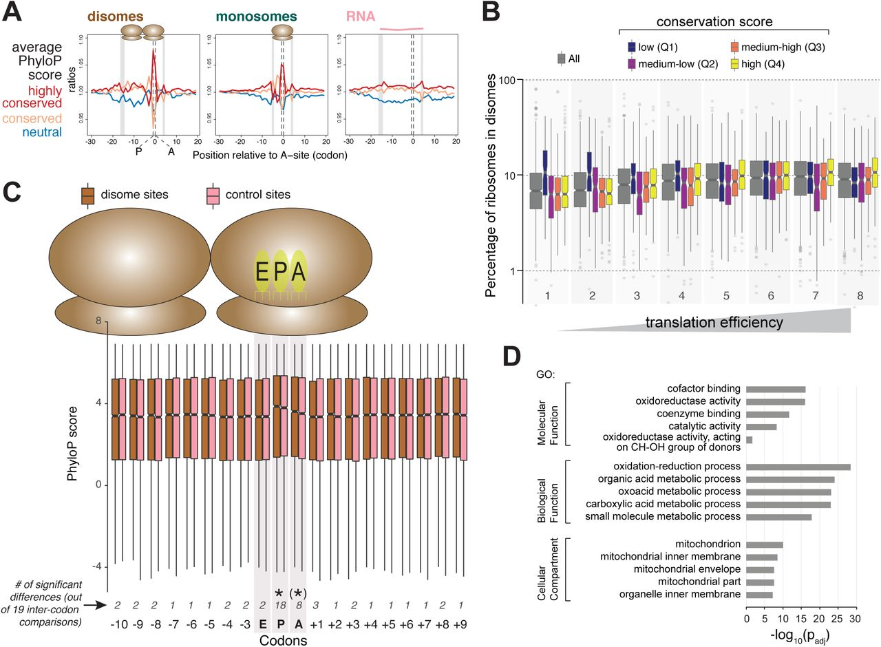 Transcriptome-wide sites of collided ribosomes reveal
