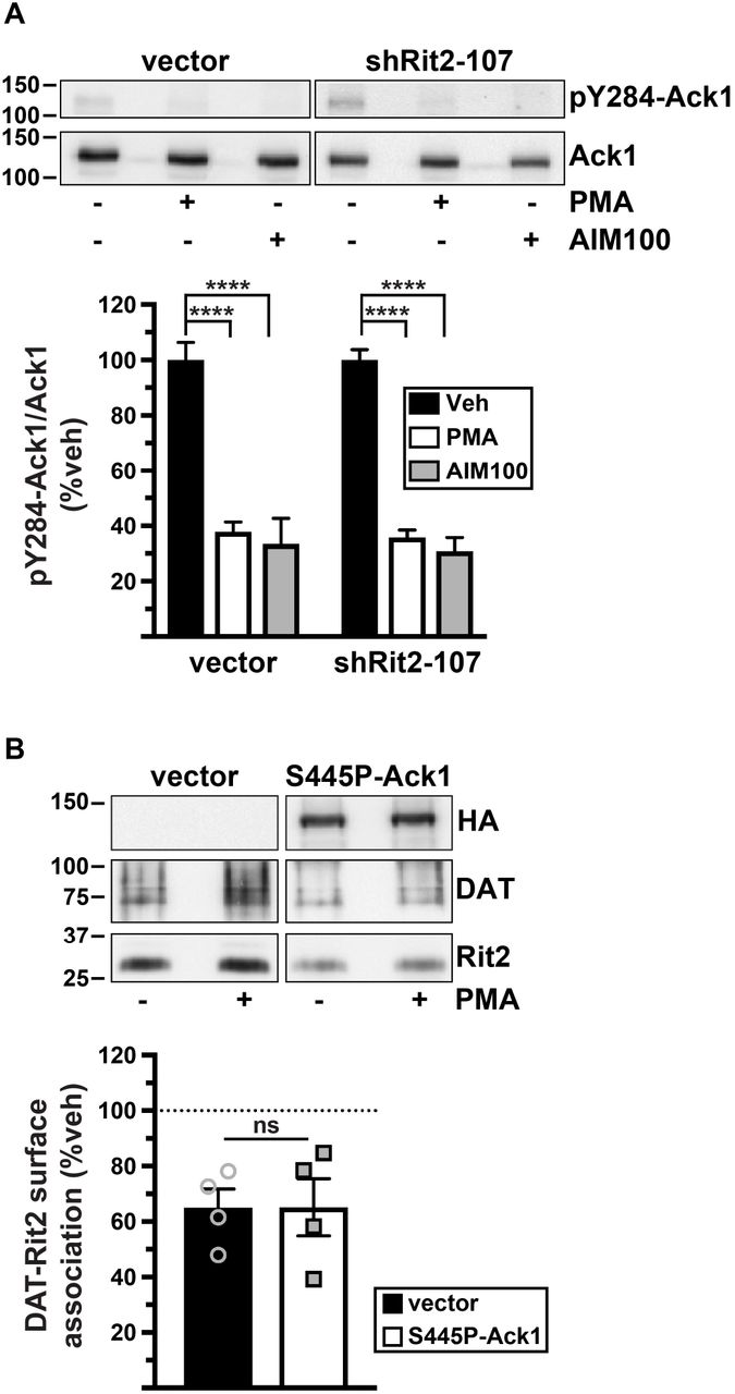 Dopamine transporter trafficking and Rit2 GTPase: In vivo
