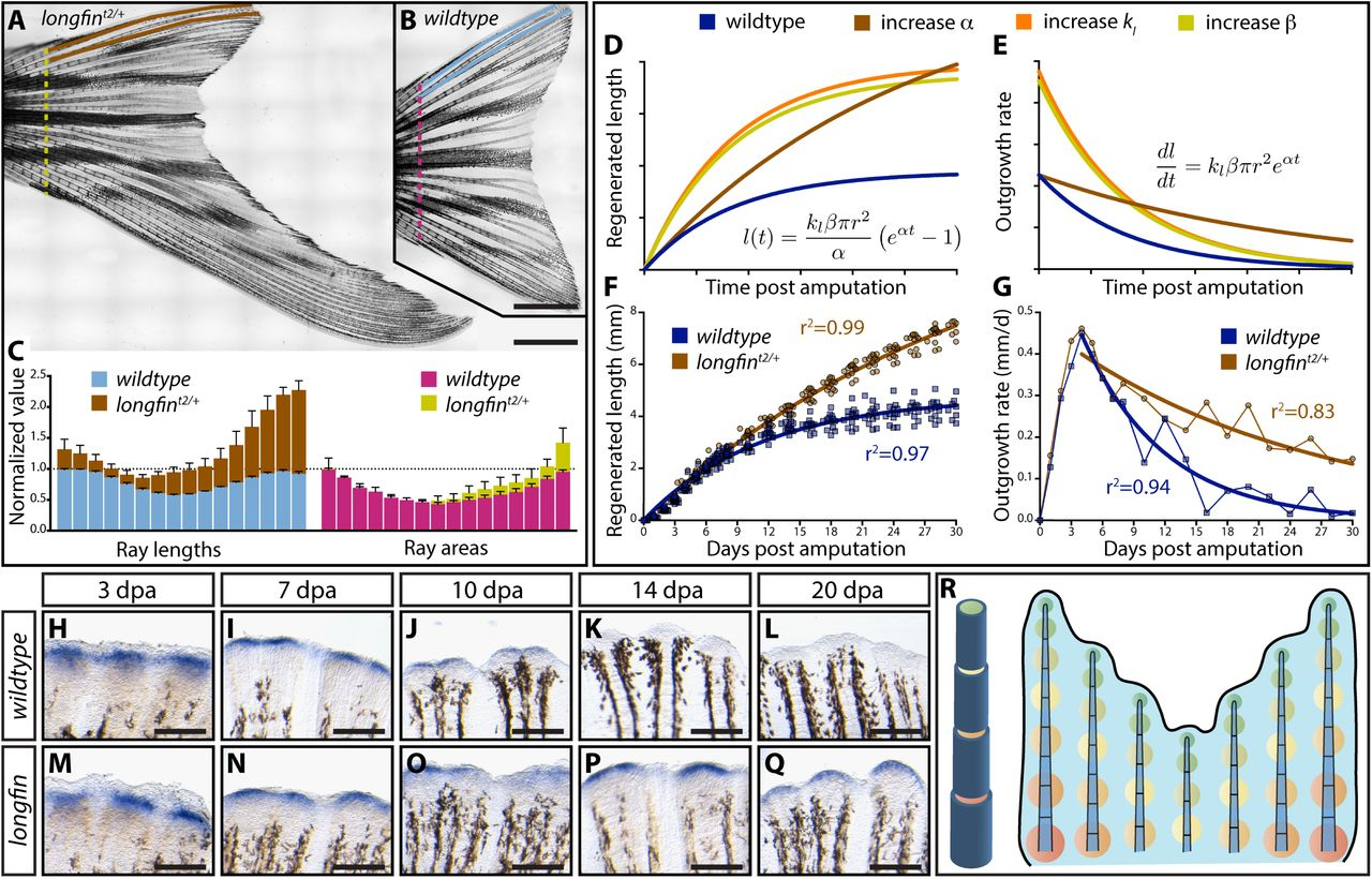 Skeletal geometry and niche transitions restore organ size