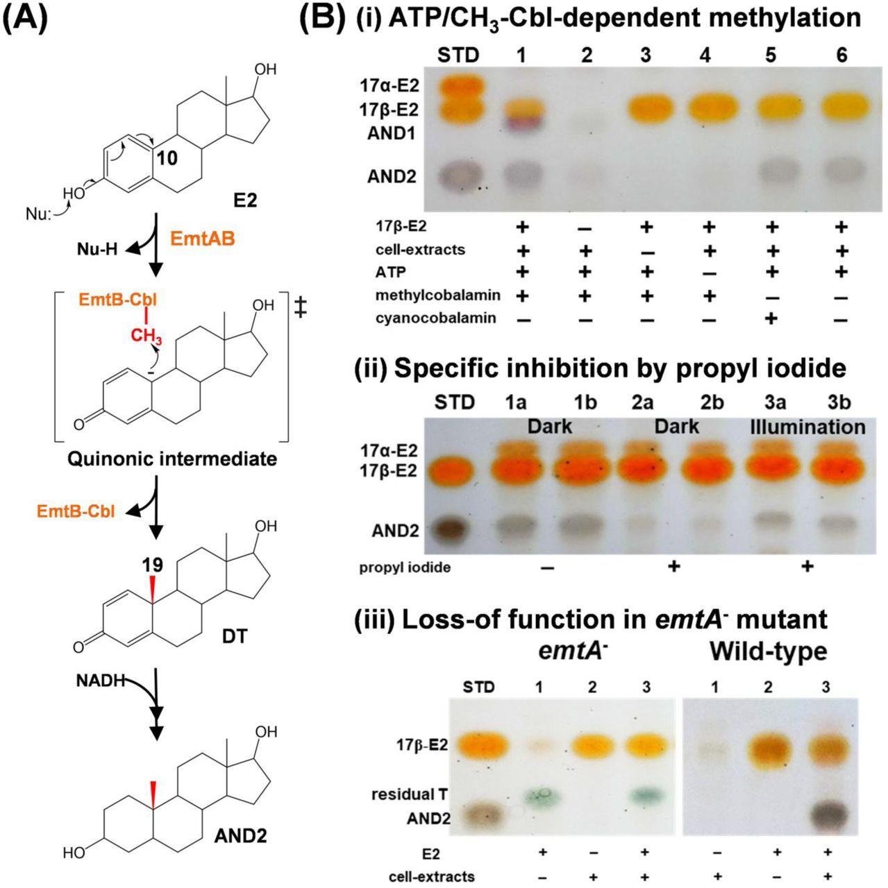 Retroconversion of estrogens into androgens by bacteria via