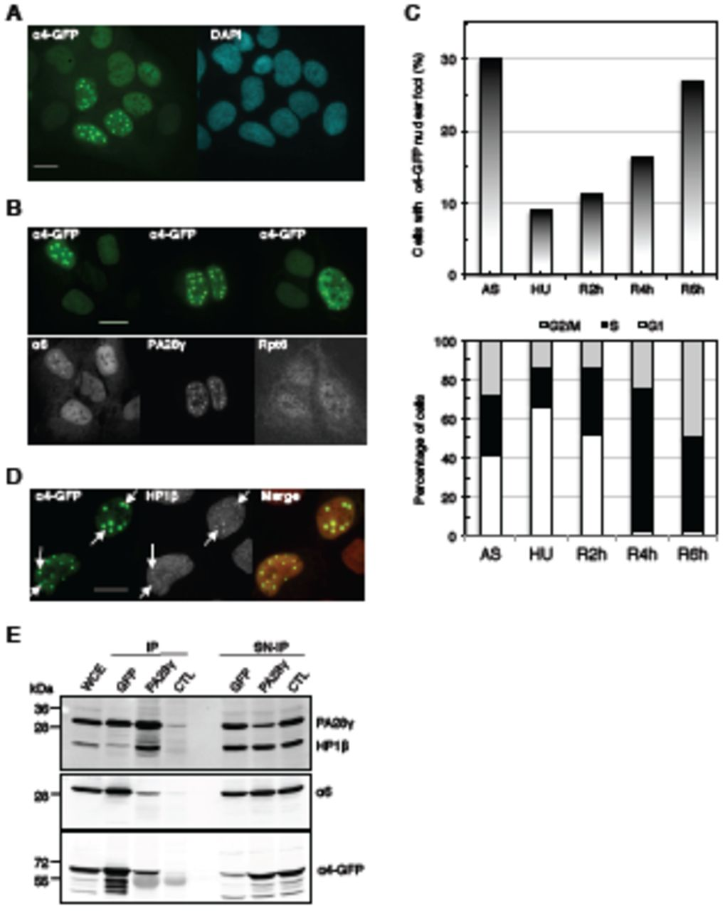 PA28γ and HP1β co-localize in α 4-GFP-20S proteasome foci. A. Stable asynchronously growing U2OS (Tet-Off) α4-GFP cells were induced for the expression of GFP-tagged α4 subunit of the 20S proteasome (α4-GFP, green) for 24 hours in the absence of tetracycline, then fixed and stained with DAPI (blue). Scale bar, 10 μm. B. Induced U2OS-α4-GFP cells (α4-GFP, green), as in A, were immunostained with antibody raised against alpha 6 subunit of the 20S proteasome (α6, left panel), the regulatory complex PA28γ (PA28γ, middle panel) and a subunit of the 19S regulatory complex (Rpt6, right panel), all in grey. Scale bar, 10 μm. C. α4-GFP foci are associated with chromatin. Induced U2OS-α4-GFP cells (α4-GFP, green), as in A, were not treated (- CSK buffer) or treated (+ CSK buffer) with an extraction CSK buffer, then fixed and immunostained with anti-PA28γ antibodies (red). Scale bar, 5 μm. D. Induced U2OS-α4-GFP cells (α4-GFP, green) were immunostained with anti-HP1β antibodies (grey). A merge image of GFP and HP1β signal is shown. Scale bar, 10 μm. Arrows indicate sites of co-localization between HP1β and α4-GFP. E. Co-immunoprecipitation of PA28γ and HP1β in asynchronous induced U2OS-α4-GFP cells. Induced U2OS-α4-GFP cells, as in A, were lysed and subjected to pull-down with either an antibody raised against PA28γ or GFP-TRAP, or the appropriate isotype control (CTL). An immunoblot of the pull-down (IP) and supernatant (SN) from whole-cell extracts (WCE) was probed with the antibodies indicated. F. U2OS-α4-GFP cells were transfected with si-Luc, si-PA28γ or si-HP1β. One day later, the expression of α4-GFP was induced, and cells were recovered 48 hours after siRNA treatment. Immunostaining was performed to detect PA28γ (red) and HP1β (magenta) in cells treated with the siRNA indicated. Representative images are shown (left). Arrows indicate cells with α4-GFP and PA28γ foci. Scale bar, 10 μm. The percentage of cells with α4-GFP foci is shown in the bar graph (right). Error bar