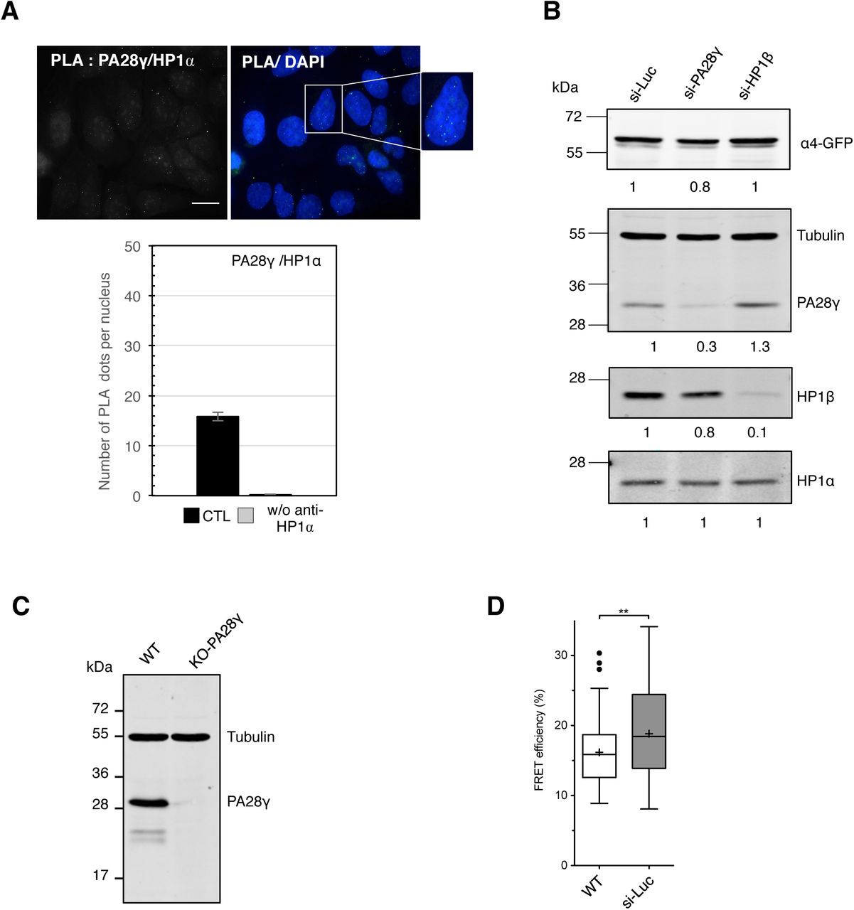 PA28γ -depletion does not alter the expression level of H2B-GFP or mCherry-H2B, and analysis of re-expression of WT- and Δ C-PA28γ in HeLa H2B-2FPs cells. A. Immunoblot analysis of H2B-GFP and mCherry-H2B expression level in total extracts from parental (WT) and KO-PA28γ HeLa H2B-2FPs cells (left panel). Tubulin was used as a loading control. The relative abundance of HP1 β proteins was quantified using ImageJ software. Graphical representation of the relative abundance of H2B-GFP and mCherry-H2B normalized to tubulin (right panel). The mean ± SD is from four independent experiments. Statistical significance was evaluated based on Student's T-test, ns = not significant. ( p = 0.2027 and 0.4024 for H2B-GFP and mCherry-H2B, respectively) B. Quantification of the H2B-GFP and mCherry-H2B fluorescence intensities in WT and KO-PA28γ HeLa H2B-2FPs cells. The total number of analyzed cells is n = 172 (WT), n = 183 (KO-PA28γ). Statistical significance was evaluated with Student's T-test, ns= not significant. C. FRET analysis in WT, KO-PA28γ HeLa H2B-FPs cells, and WT HeLa H2B-FPs cells treated with Trichostatin A (TSA, 200ng/ml, 24h). The statistical analysis of the mean FRET efficiency percentage is presented as box-and-whisker plots. The thick line represents median, the boxes correspond to the mean FRET values upper and lower of the median, with the whiskers covering the 10-90 percentile range. The total number of analyzed nuclei is n = 154 (WT), n = 132 (KO-PA28γ), and n = 33 (WT + TSA), **** p