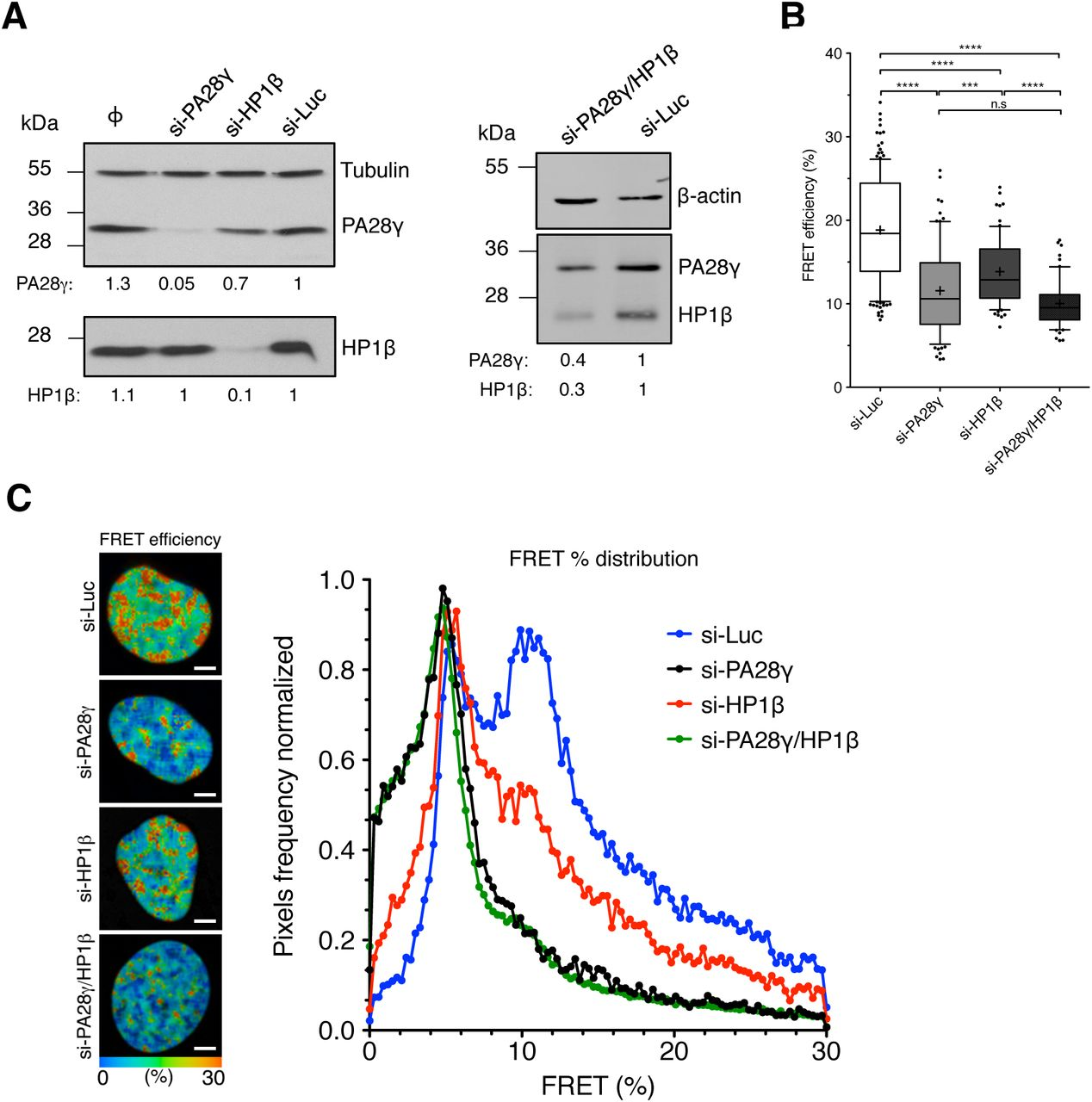 PA28γ is a crucial factor for chromatin compaction. A. HeLa H2B-2FPs cells (WT) were transfected with control si-Luc, si-PA28γ, si-HP1β or a mix of both siRNAs (si-PA28γ/HP1β) for 48 hours. Immunoblot analysis of PA28γ and HP1β protein levels in HeLa 2FPs following siRNA treatments were performed. Tubulin and anti-β actin antibodies were used as loading controls. The relative abundance of PA28γ and HP1β proteins was quantified using ImageJ software. B. Quantification of the mean FRET efficiencies were presented as box-and-whisker plots where the thick line represents median, the boxes correspond to the mean FRET values upper and lower of the median, with the whiskers covering the 10-90 percentile range. Data represent the means ± SD from 4 independent experiments, the total number of analyzed cells is n = 152 (si-Luc), n = 85 (si-PA28γ), n = 73 (si-HP1β), n = 61 (si-PA28γ/HP1β). ns = not significant, *** p