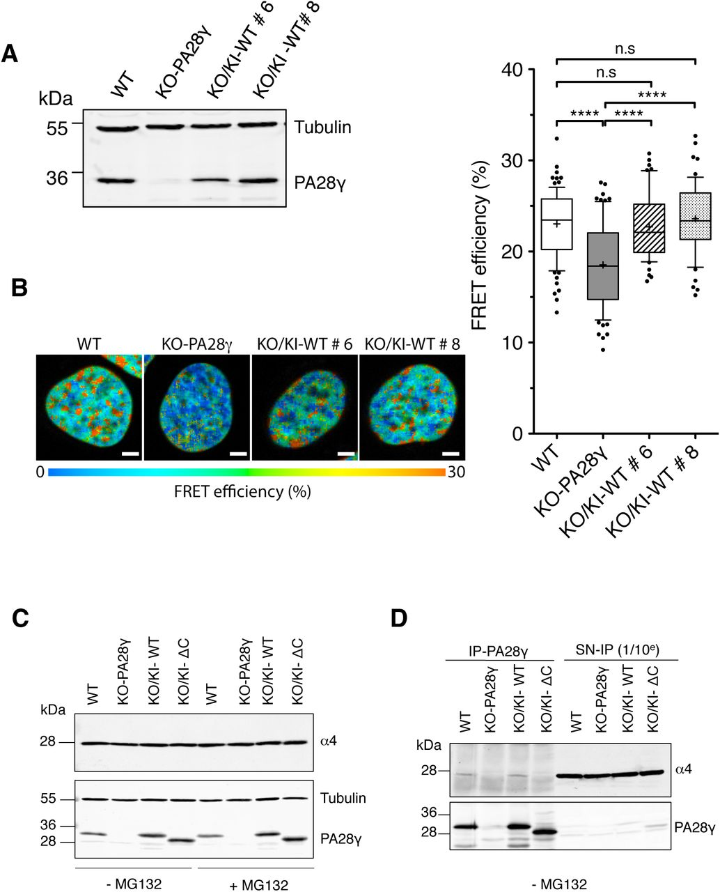 Co-localization of PA28γ with HP1α and HP1β /PA28γ co-localization is independent of PIP30, a regulator of PA28γ. A. Immunoblot of whole cell extract (30 μg) from asynchronous parental (WT) and KO-PA28γ (KO-PA28γ) U2OS cells, using anti-PA28γ. Tubulin was used as a loading control (left panel). Asynchronously-growing U2OS-KO-PA28γ cells were pre-permeabilized with 0.5 % Triton-X100 before fixation and the detection of endogenous HP1β (left panel) and PA28γ (middle panel) by indirect immunofluorescence using anti-HP1β and PA28γ antibodies. A representative merged image of HP1β (green) and PA28γ (red) is shown (right panel). Scale bars, 10 μm. B. In situ Proximity ligation assay ( is -PLA) was carried out in asynchronous U2OS cell line. Fixed cells were treated with primary antibodies directed against PA28γ (mouse monoclonal) and HP1α (rabbit polyclonal) (CTL) or with only PA28γ antibodies (w/o anti-HP1α) and DNA was stained with DAPI (left panel). A higher magnification view of a nucleus is shown. Scale bars, 10 μm. The number of PLA dots per nucleus in cells treated with both antibodies (CTL) or with only PA28γ antibodies (w/o anti-HP1α) is shown on the bar graph (right panel). Data represent the mean ± SD from 3 independent experiments, the number of cells analyzed was n = 40 and n = 41 in control cells and cells treated without primary HP1 α antibody, respectively. The p -value was determined with Student's T-test, **** ( p ≤ 0.0001). C. Whole-cell extracts (30 μg) of parental (WT), PA28γ-knockout (KO-PA28γ) and PIP30-knock-out (KO-PIP30) U2OS cells used for the is -PLA were analyzed by SDS-PAGE and immunoblotted with the antibodies indicated (left panel). Is -PLA was carried out using primary antibodies directed against HP1β and PA28γ, and DNA was stained with DAPI. Representative images of parental (WT) and KO-PIP30 U2OS cells are presented and higher magnification views are shown (middle panel). Scale bars, 10 μm. Quantification of PLA-dots was performed as in 
