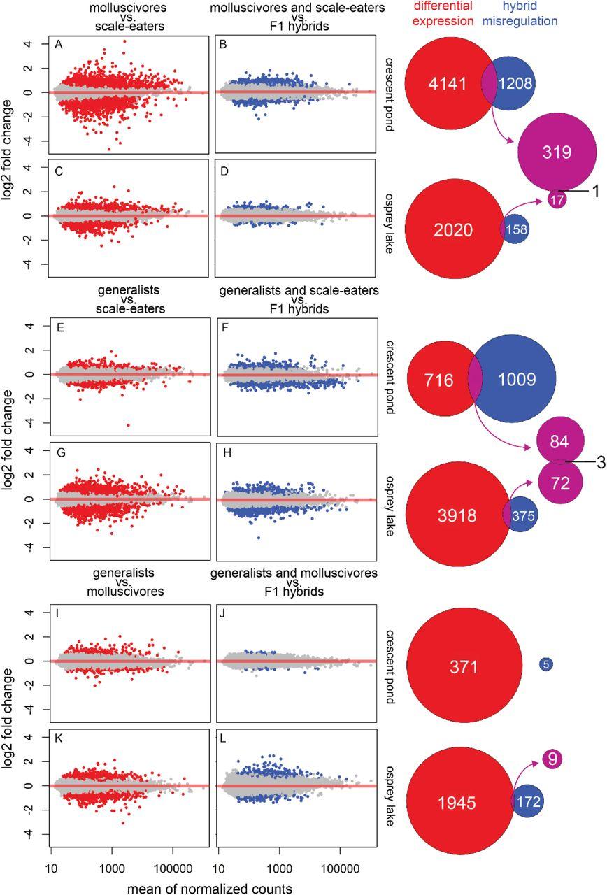 Ecological divergence in sympatry causes gene misregulation