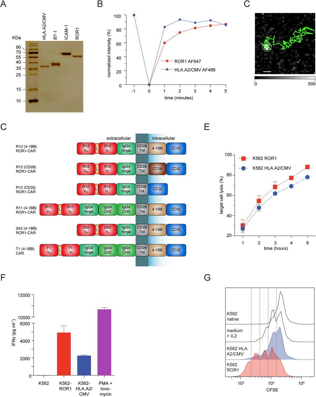 Inefficient ZAP70-Signaling Blunts Antigen Detection by CAR-T-Cells