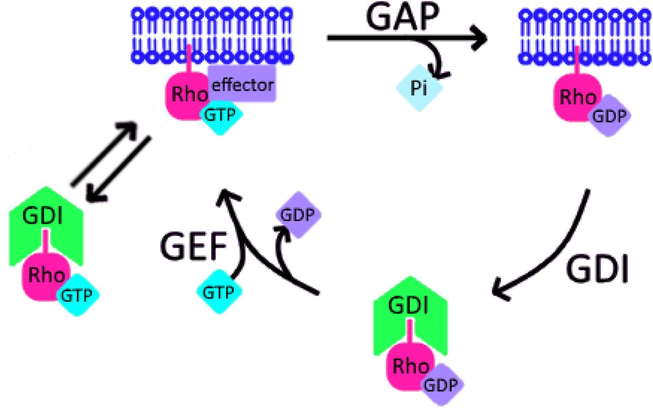 Extraction of active RhoGTPases by RhoGDI regulates