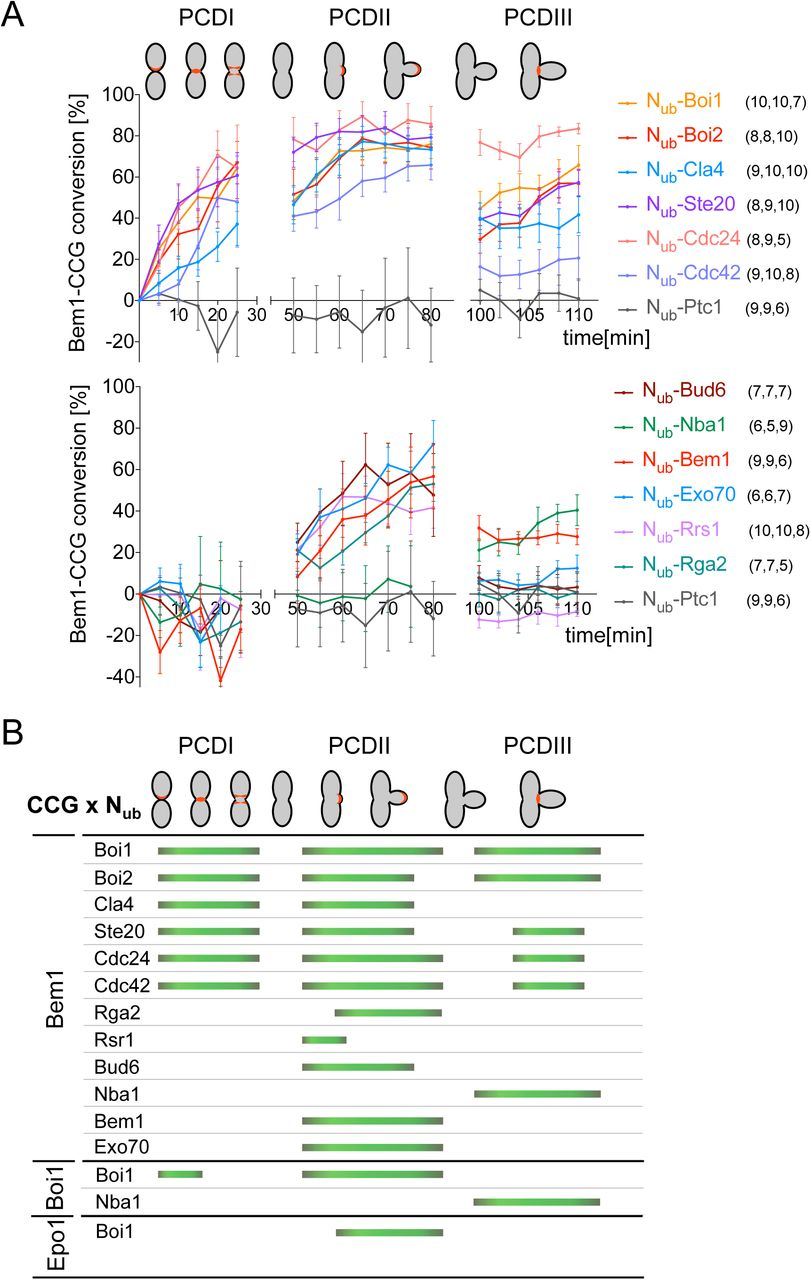 A time resolved interaction analysis of Bem1 reconstructs