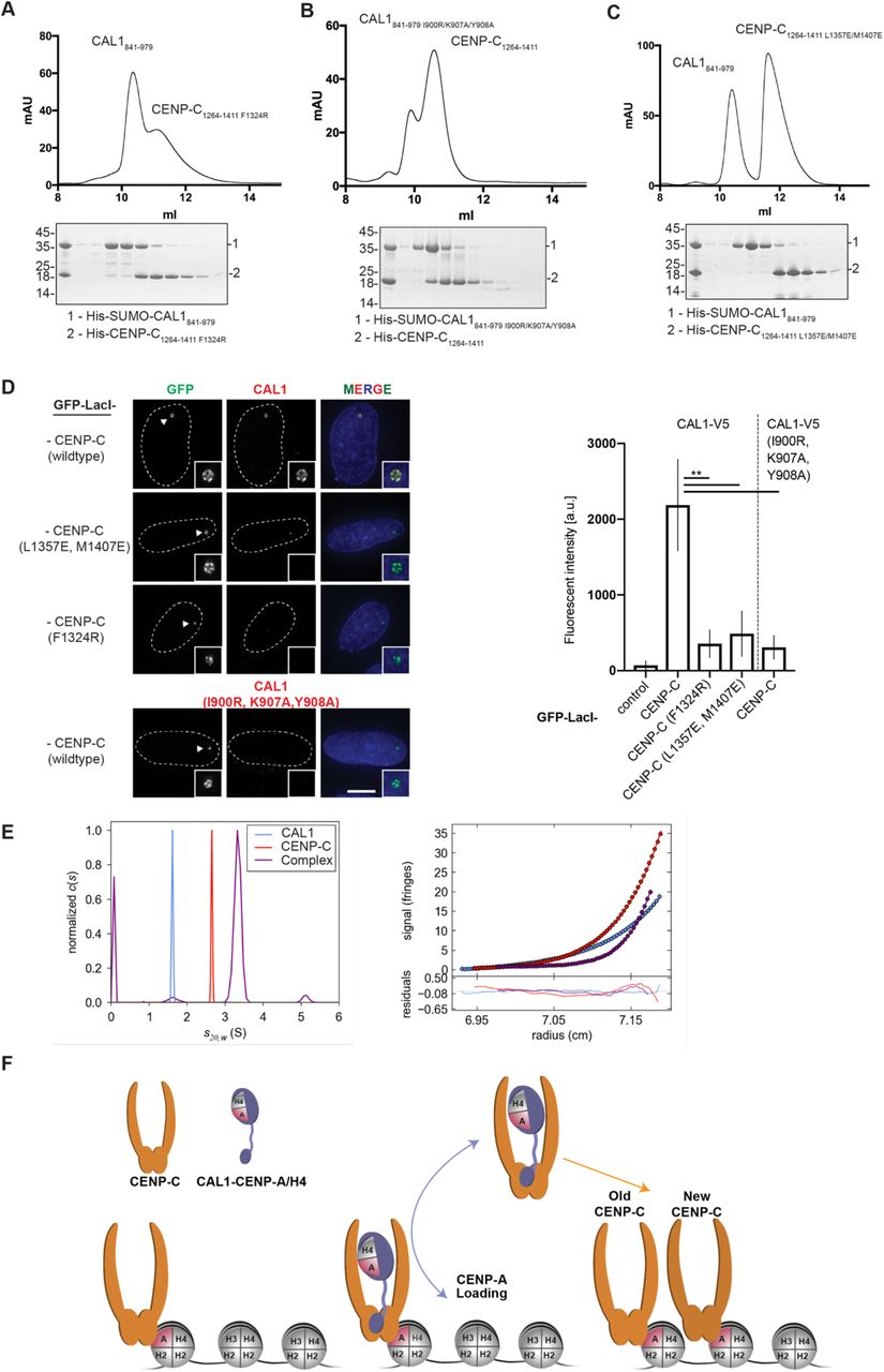 Structural Basis for CAL1-Mediated Centromere Maintenance