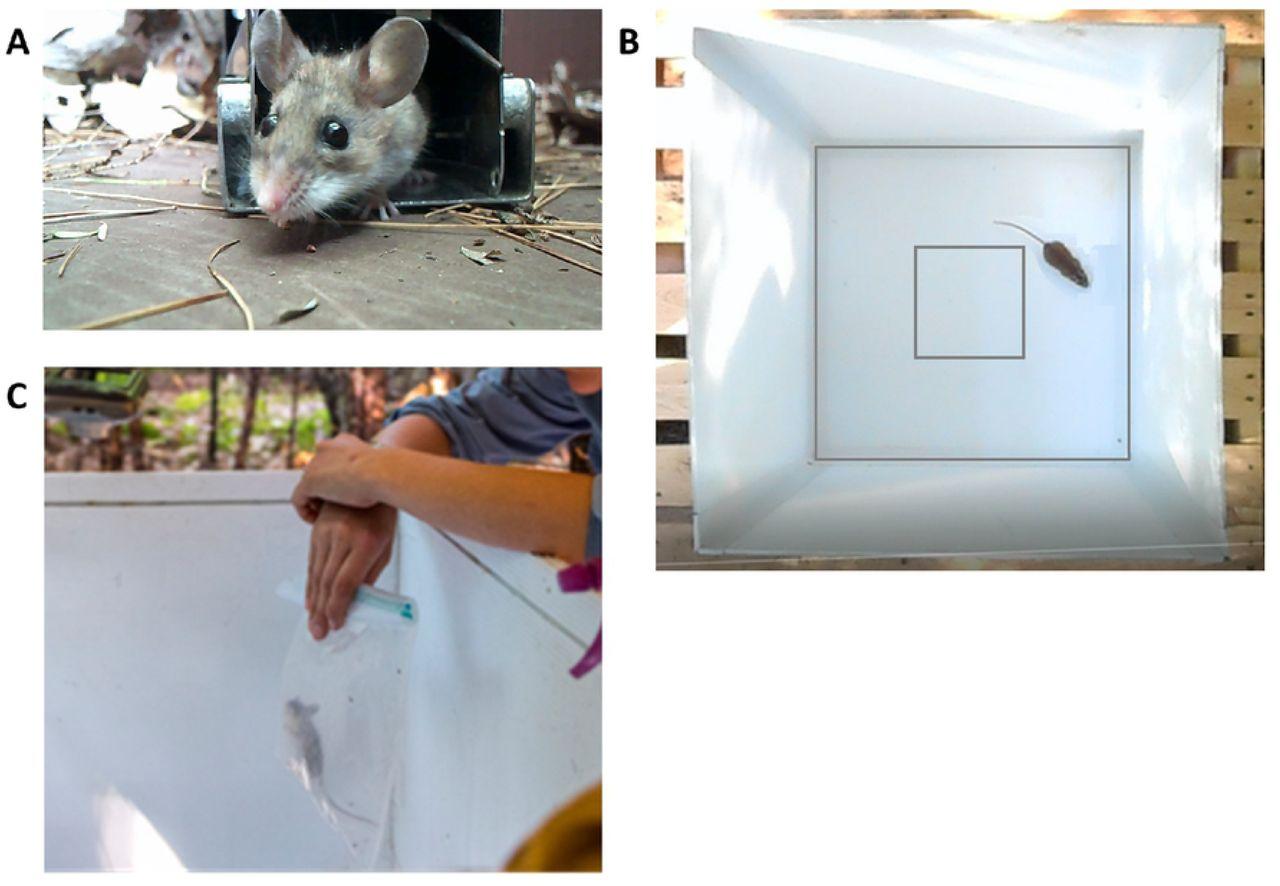P Rat Traps Ep 79 – Meta Morphoz