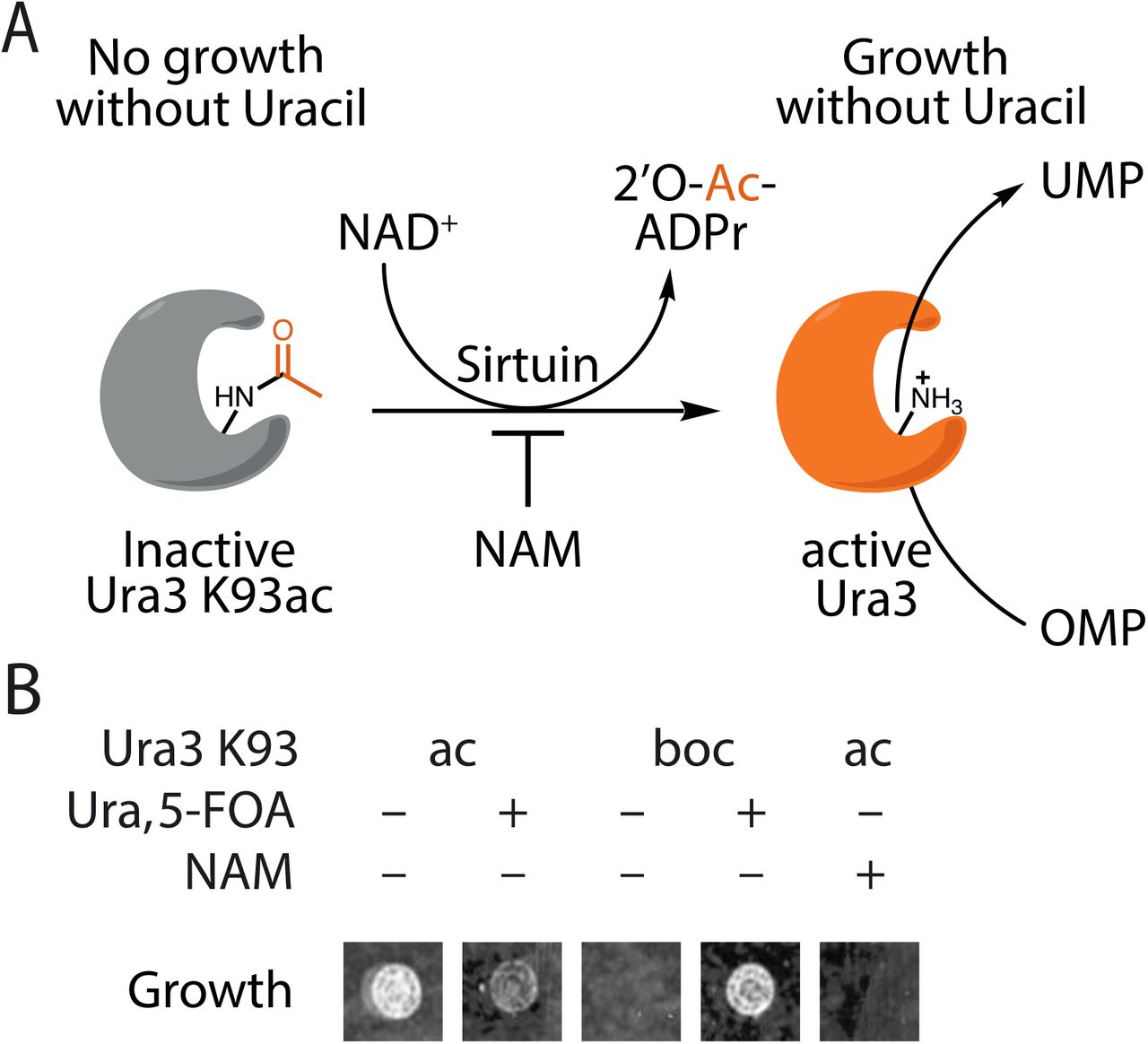 Evolved, Selective Erasers of Distinct Lysine Acylations