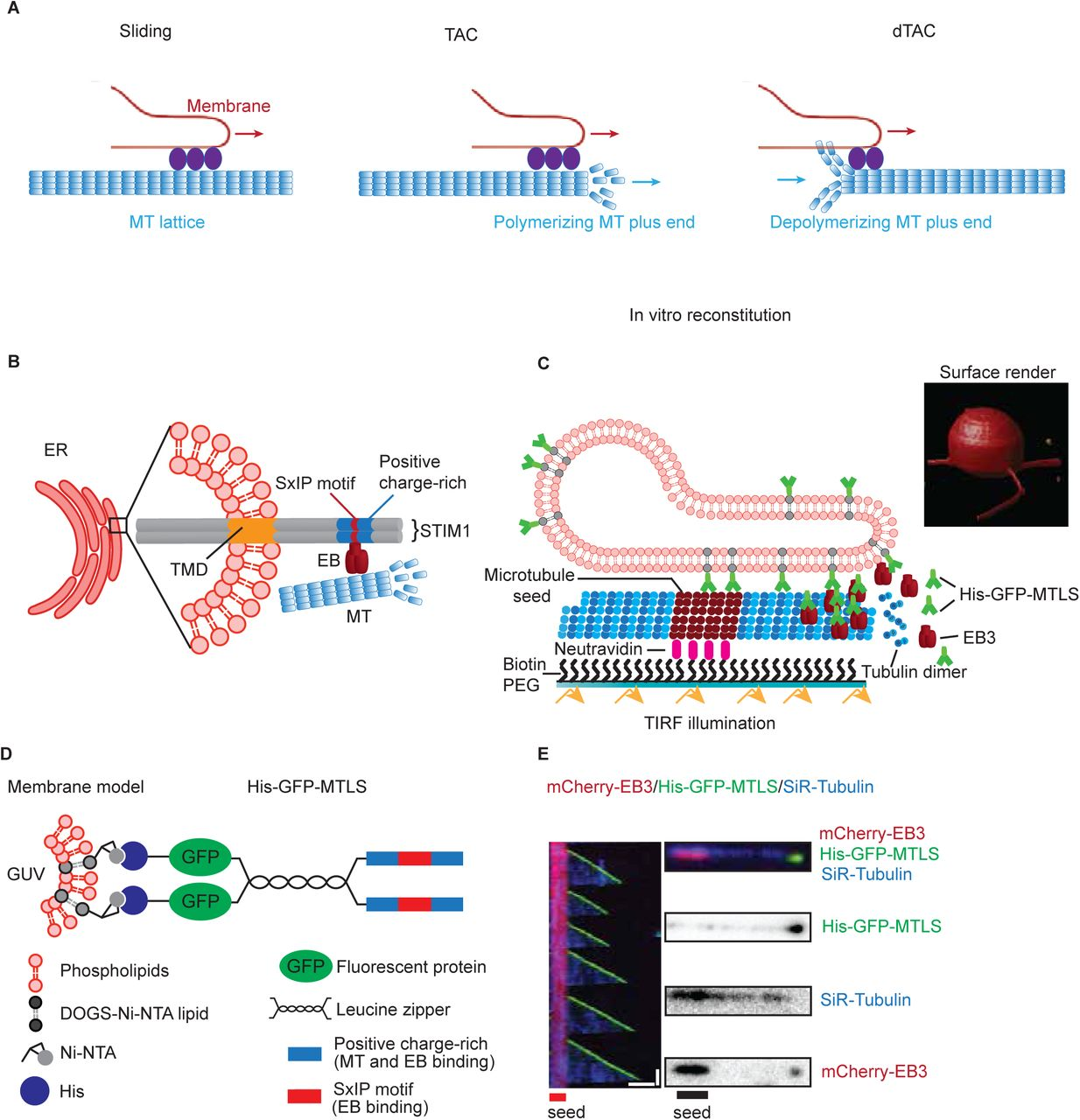 Mechanisms of motor-independent membrane remodeling driven