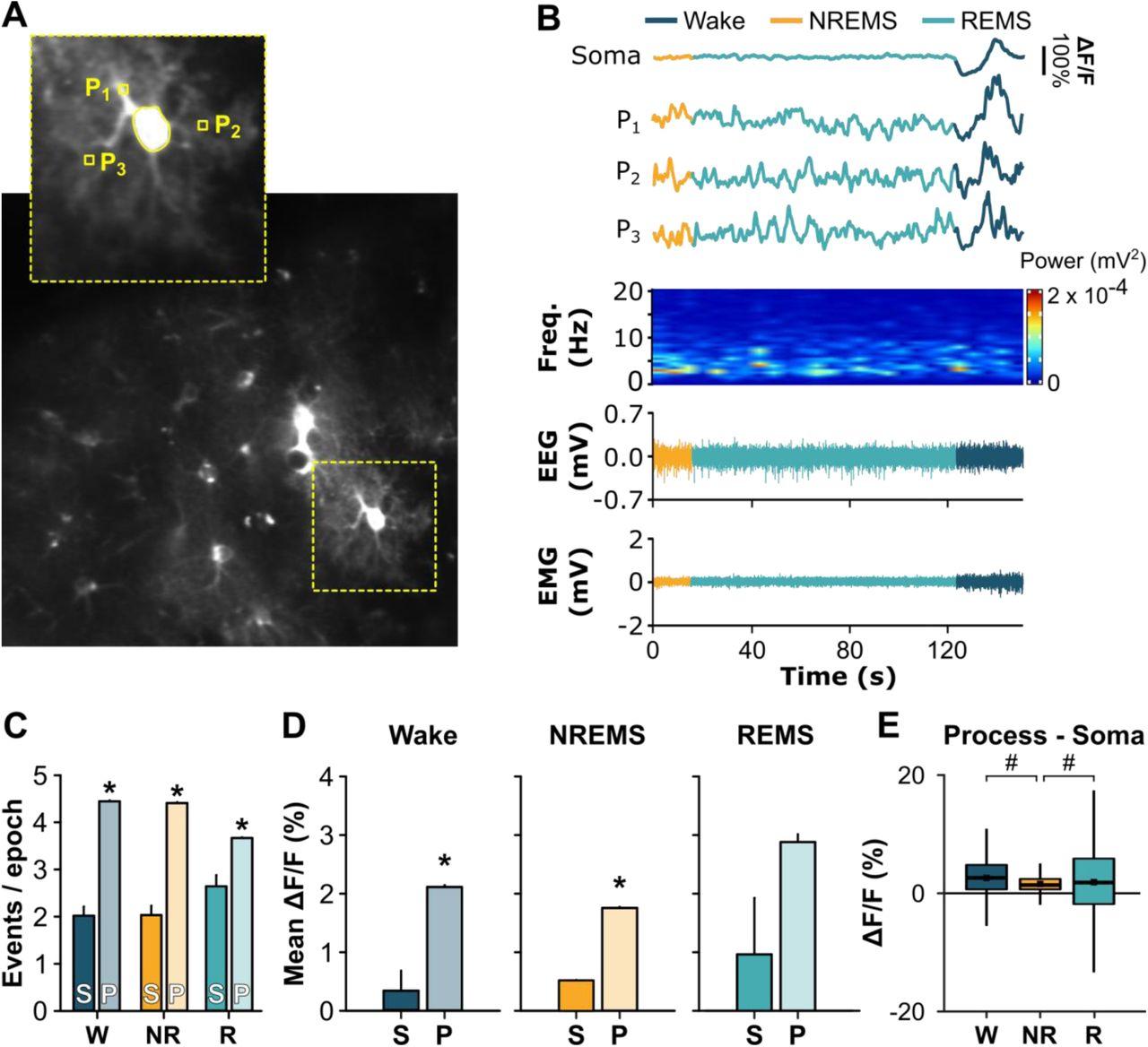 A role for astroglial calcium in mammalian sleep | bioRxiv