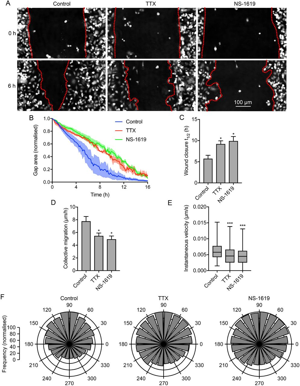 """Na v 1.5-dependent membrane potential depolarization regulates cell migration. (A) Representative scratch wounds at 0 h and 6 h into a wound healing assay ± TTX (30 μM) or NS-1619 (1 μM). Red dotted lines highlight wound edges. (B) Wound area during the migration assay (""""gap remaining""""), normalized to starting value (n = 3). (C) t 1/2 of wound closure (n ≥ 5). (D) Collective migration (µm/h) of cells closing the wound (n ≥ 5). (E) Instantaneous velocity (µm/s) of segmented cells (n ≥ 2662). (F) Polar histograms showing directionality of migrating cells at the leading edge of wounds (P"""