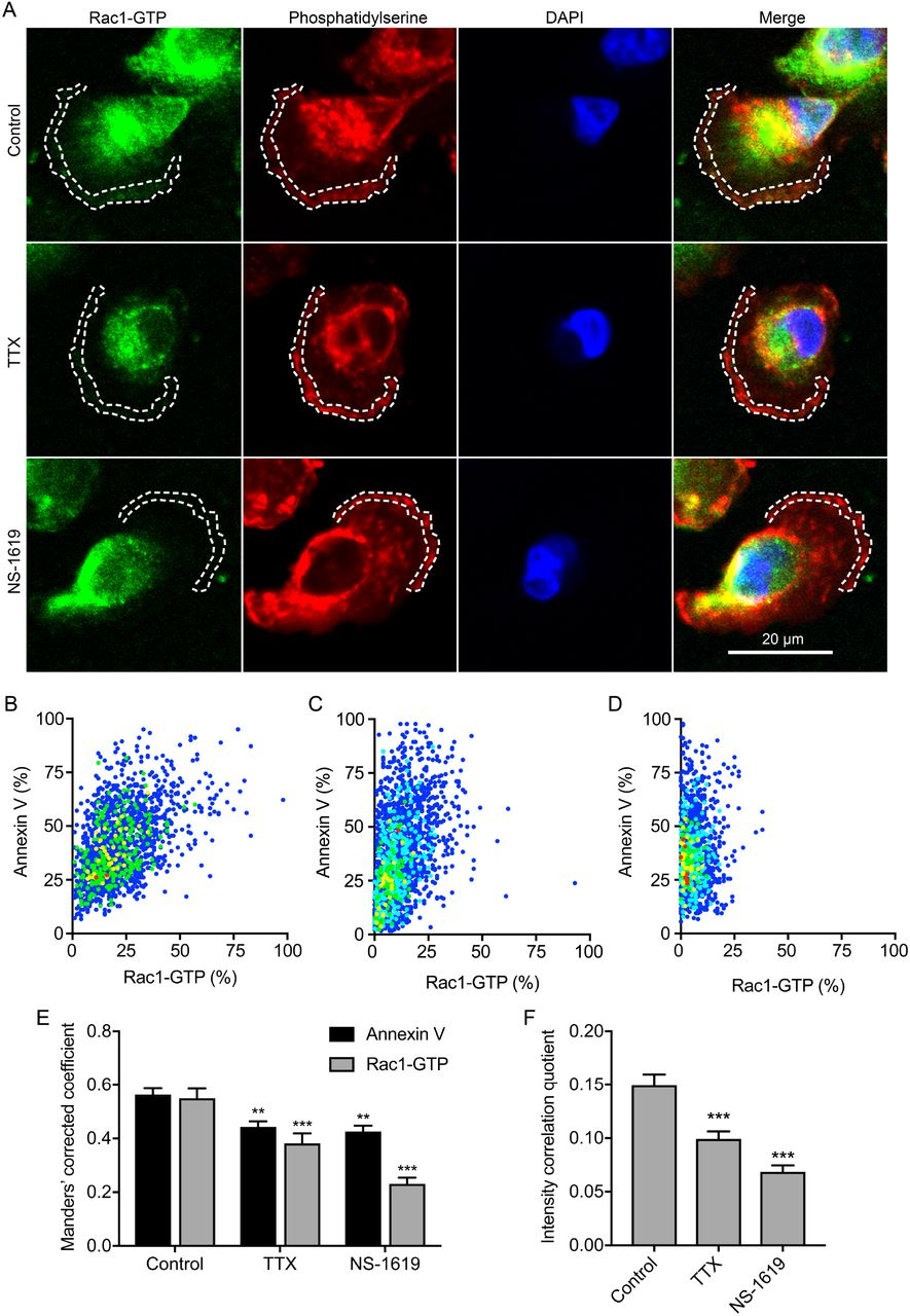 Na v 1.5 and V m regulate Rac1-GTP colocalization with phosphatidylserine. (A) Images of representative cells after treatment with TTX (30 µM) and NS-1619 (1 µM) for 3 h. Cells were labeled with Rac1-GTP antibody (green), annexin V (red) and DAPI (blue). Dashed lines highlight regions of interest at the leading edge. (B) Cytofluorogram showing colocalization of annexin V and Rac1-GTP staining in region of interest in control cell from (A), normalized to maximum in each channel. (C) Cytofluorogram showing colocalization of annexin V and Rac1-GTP staining in region of interest in TTX cell from (A), normalized to maximum in each channel. (D) Cytofluorogram showing colocalization of annexin V and Rac1-GTP staining in region of interest in NS-1619 cell from (A), normalized to maximum in each channel. (E) Manders' corrected colocalization coefficients for annexin V and Rac1-GTP staining in regions of interest of cells after treatment with TTX (30 µM) and NS-1619 (1 µM) for 3 h (n = 30). (F) Li's intensity correlation quotient for Rac1-GTP and annexin V colocalization (n = 30). Data are mean and SEM. **P