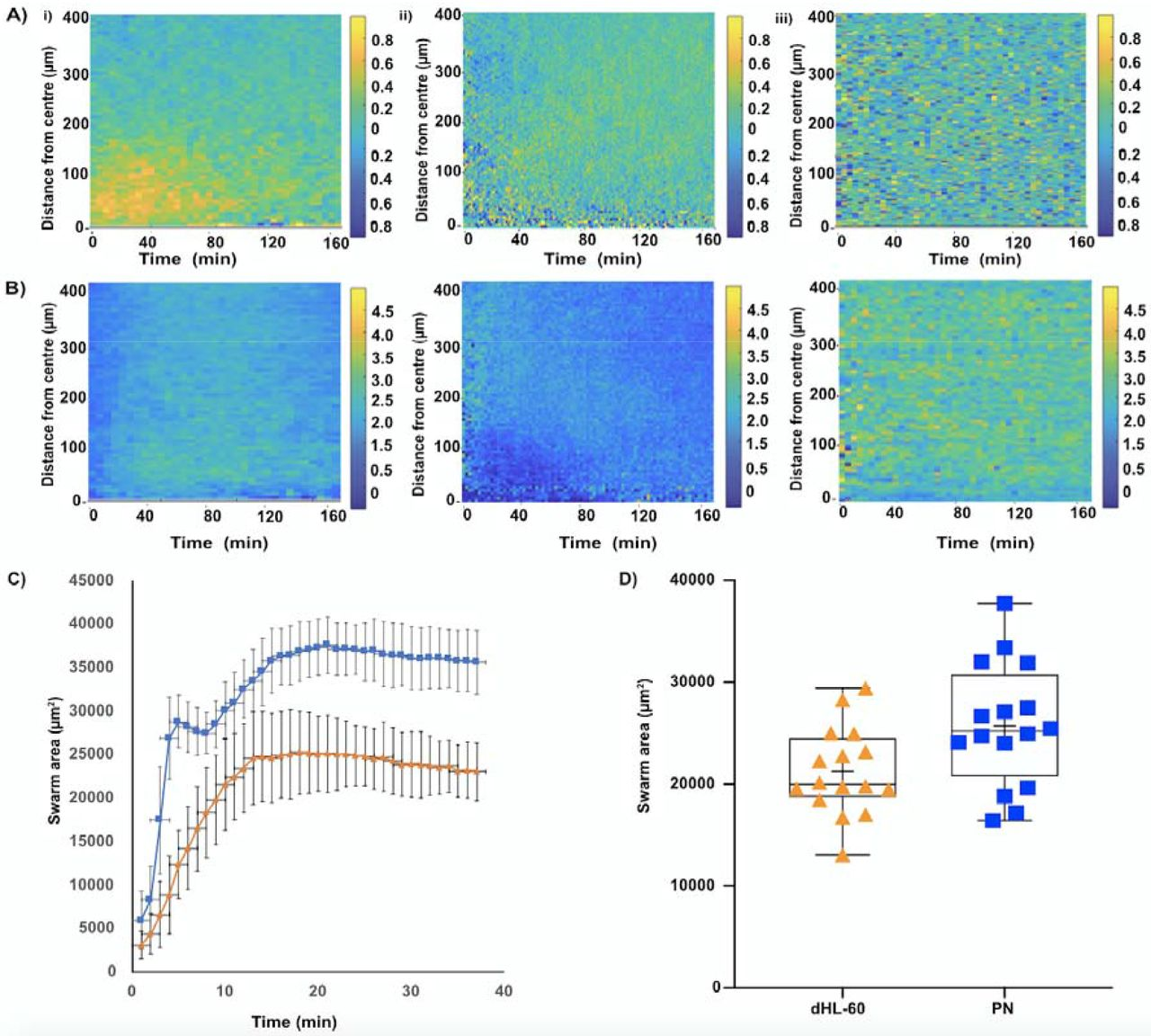 Chemotaxis and swarming in differentiated HL60 neutrophil