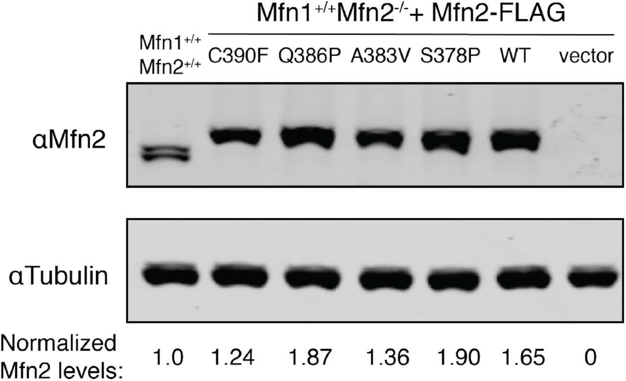Mfn2 requires Hinge 1 integrity for efficient nucleotide