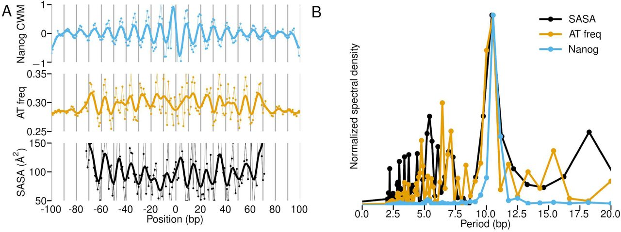 No evidence that Nanog binds with a partner Lack of evidence for a Nanog binding partner. A) Median ChIP-nexus signal, predicted BPNet signal, and DeepLIFT contribution of Oct4, Sox2, Nanog, and Klf4 show no signal across the genomic instances matching the putative Nanog-Sox heterodimer motif (RMWMAATWNCATTSW) ( 69 ). The signal for Oct4-Sox2, Sox2, Nanog , and Klf4 motif instances are shown as control. B) Since the Nanog motif resembles the known Pbx binding motif, we performed Pbx ChIP-nexus experiments to test whether Pbx might be a binding partner for Nanog. However, the average Nanog, Pbx and Sox2 ChIP-nexus binding profiles show no detectable footprints for Pbx or Sox2 on the three Nanog motifs, arguing against Pbx or Sox2 being stable interaction partners. However, an unknown interaction partner cannot be ruled out. C) The average Pbx ChIP-nexus footprint on the known Pbx motif from JASPAR ( 139 ) (top 1000 based on PWM-match score) confirms that the Pbx ChIP-nexus experiment worked (left). Likewise, Sox2 shows specific binding to its identified Sox2 motif (right). Note that the y-axis is set to the same RPM scale in A and B to allow comparisons of signal strength.